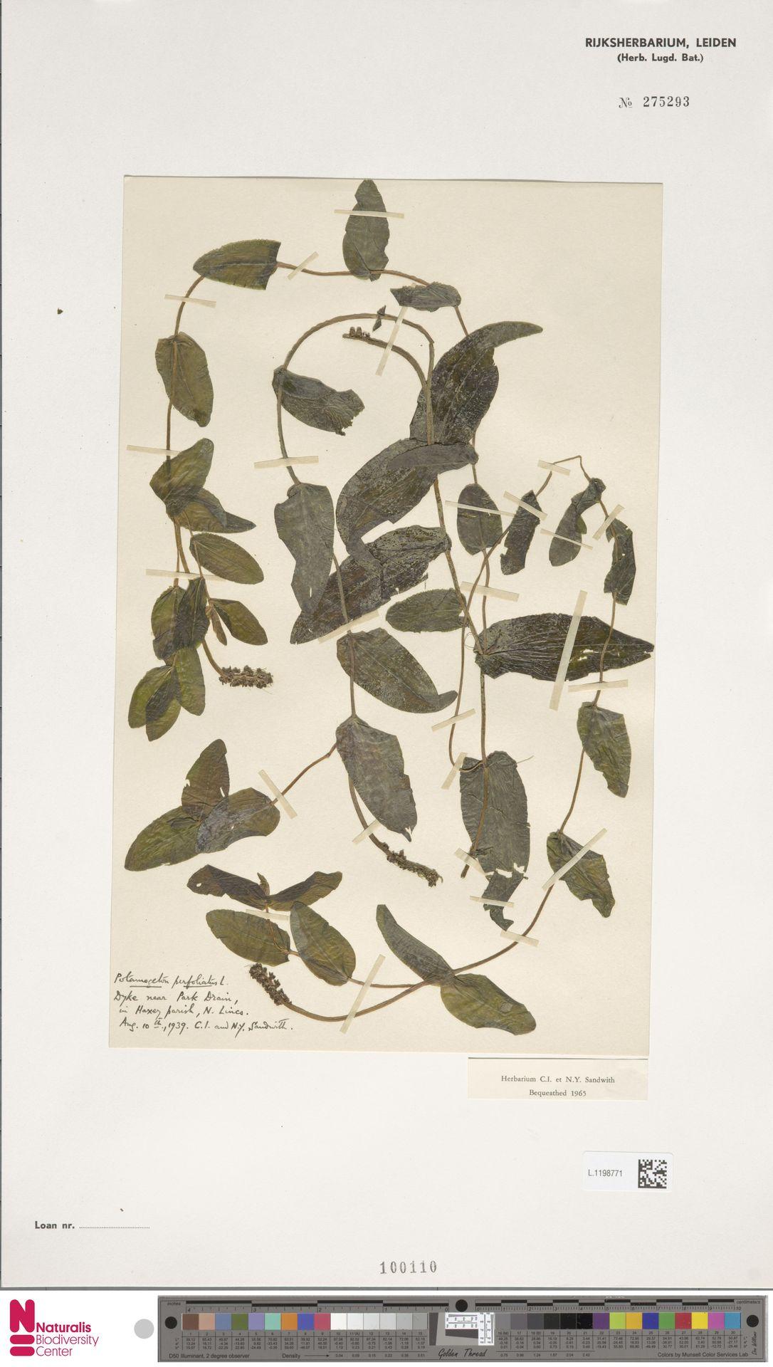 L.1198771 | Potamogeton perfoliatus L.