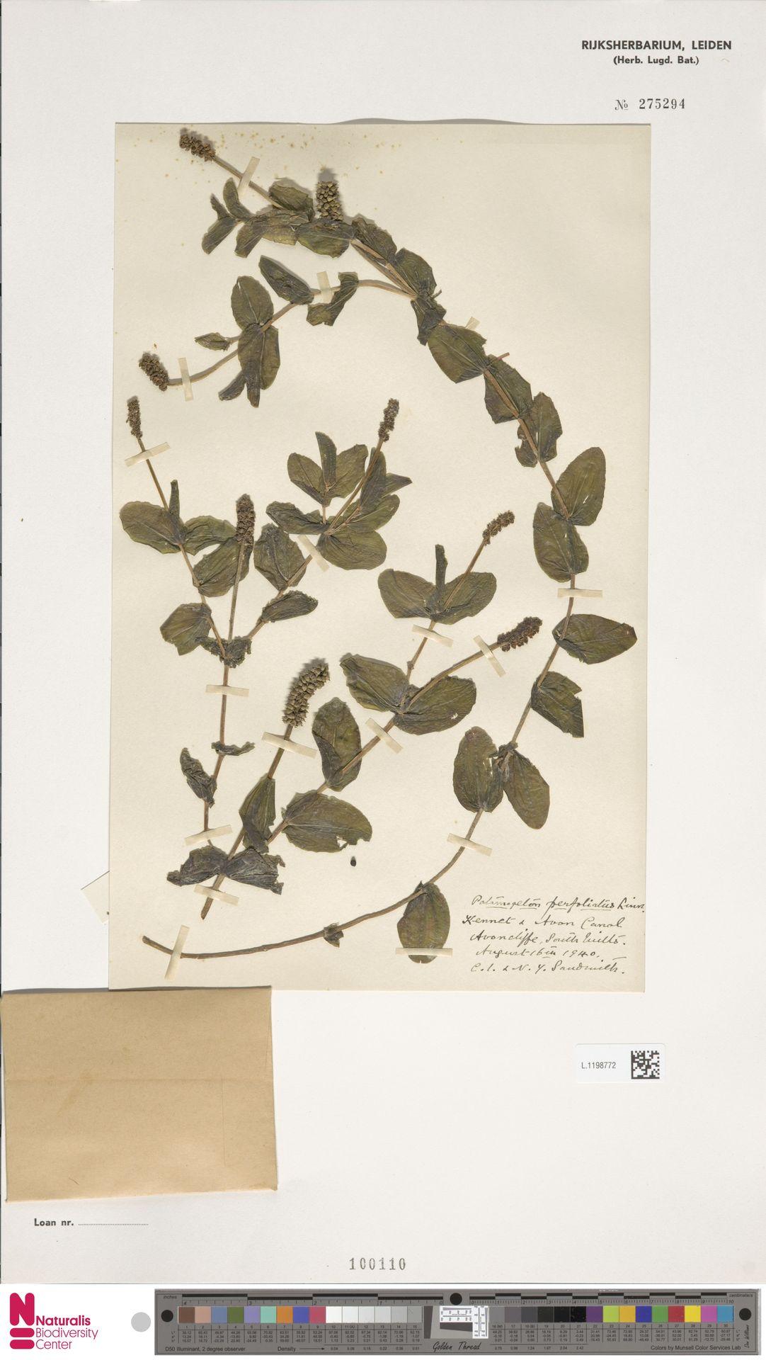 L.1198772 | Potamogeton perfoliatus L.