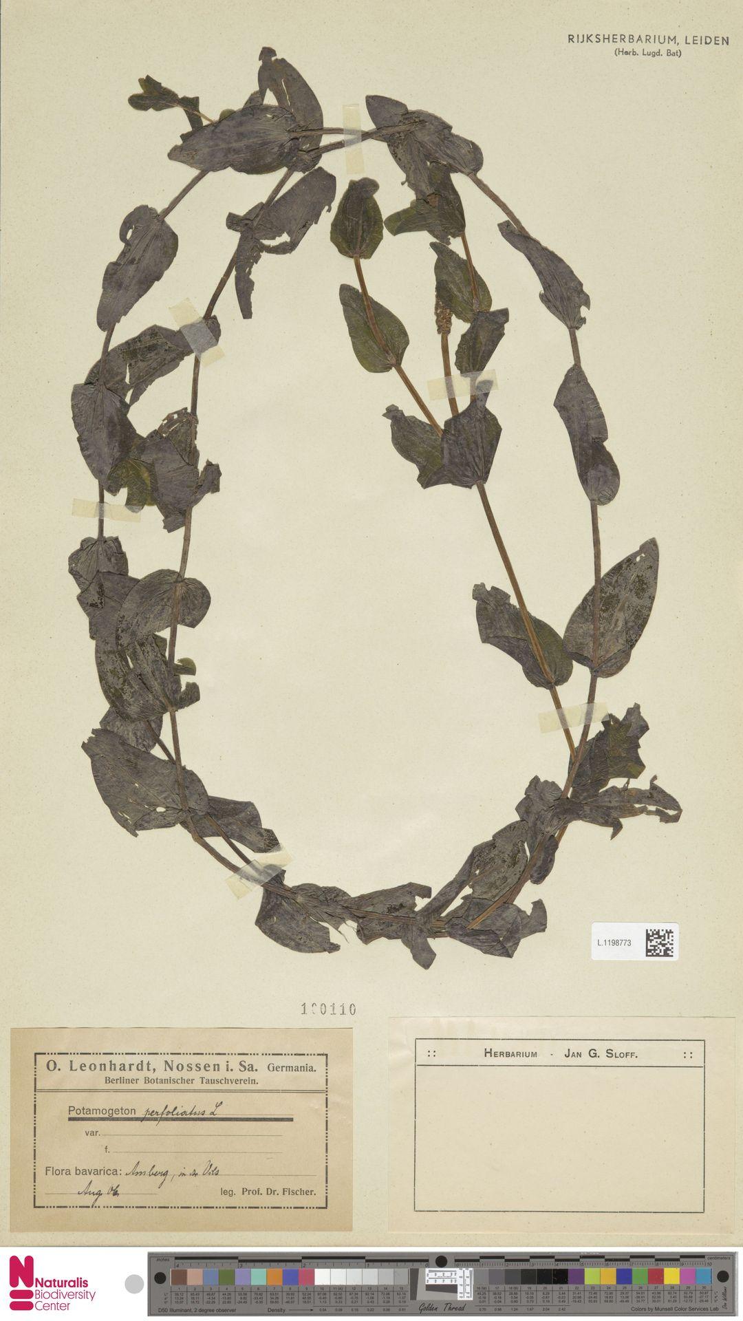 L.1198773 | Potamogeton perfoliatus L.