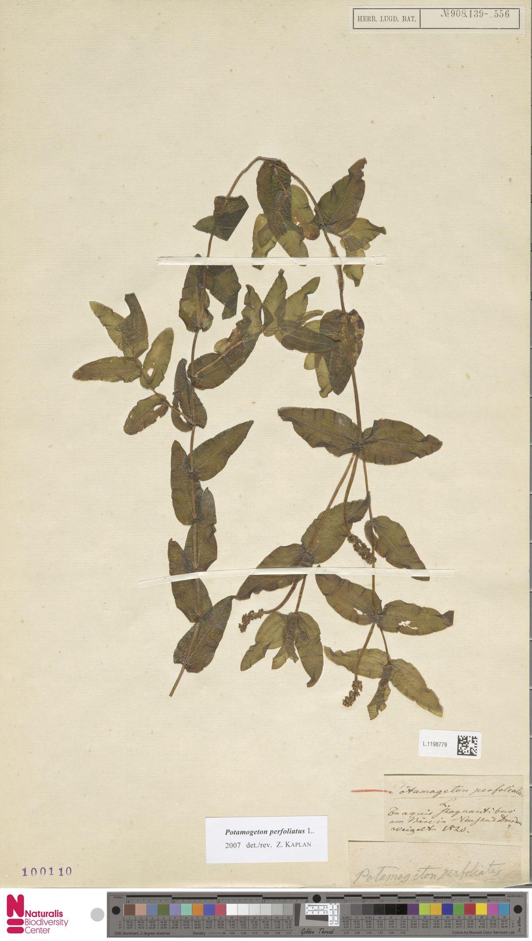 L.1198779 | Potamogeton perfoliatus L.