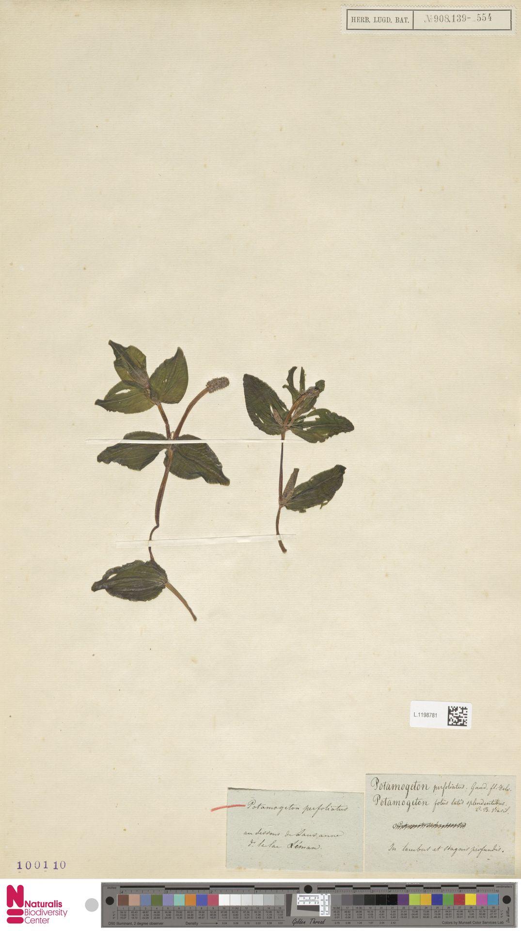 L.1198781   Potamogeton perfoliatus L.