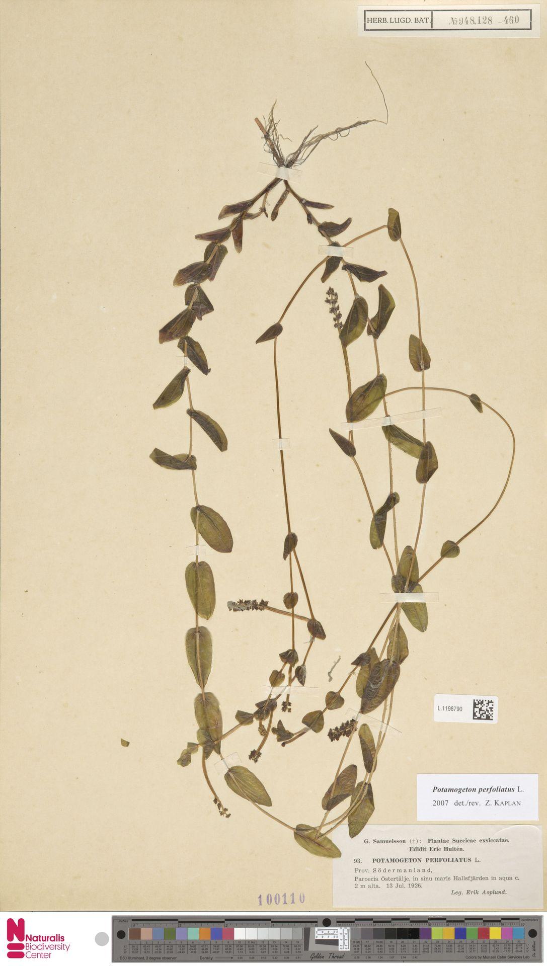 L.1198790 | Potamogeton perfoliatus L.