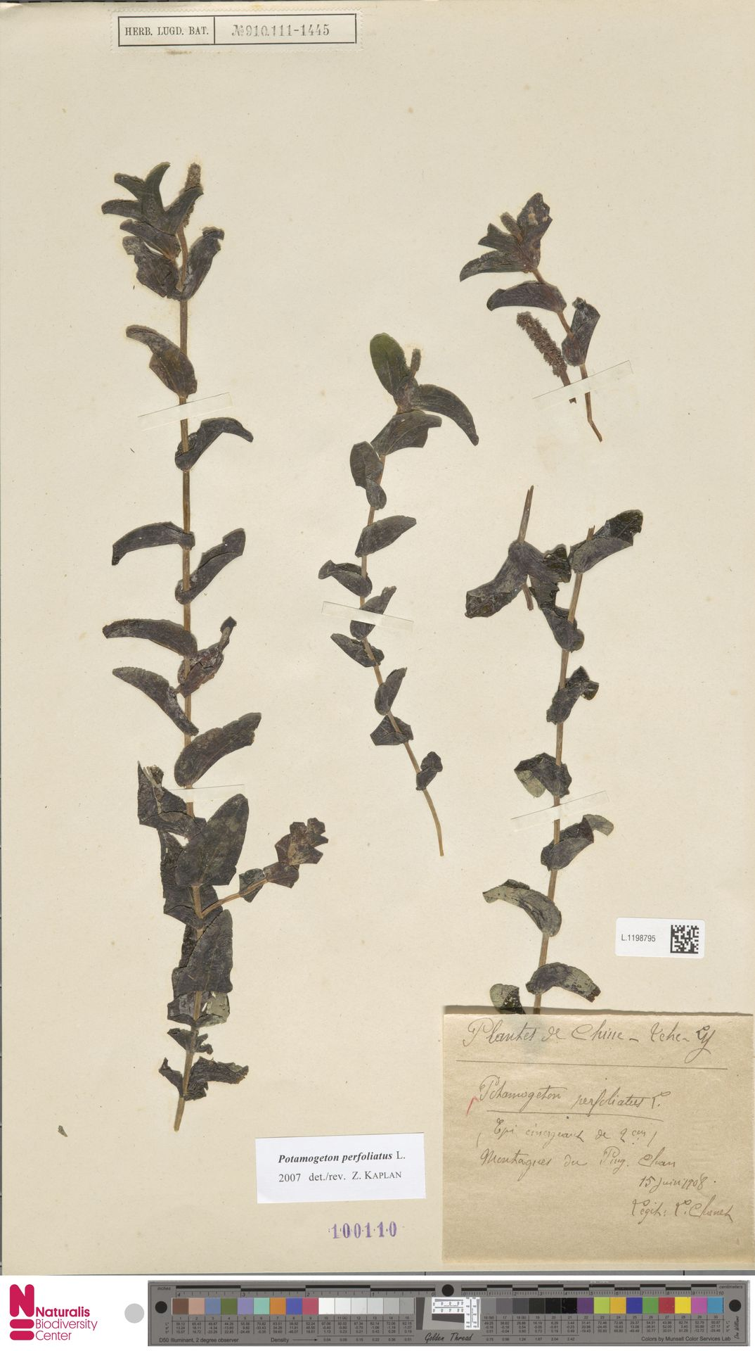 L.1198795   Potamogeton perfoliatus L.