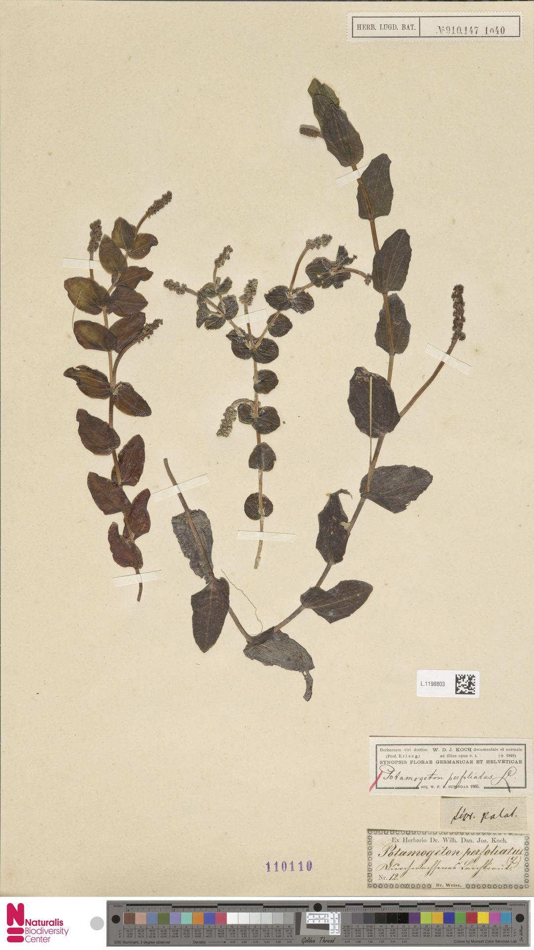 L.1198803 | Potamogeton perfoliatus L.