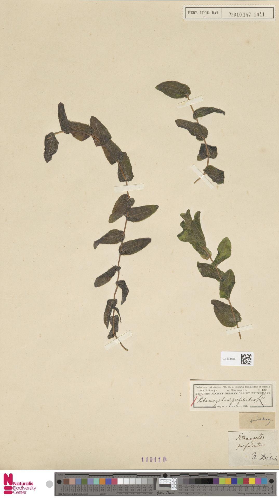 L.1198804 | Potamogeton perfoliatus L.