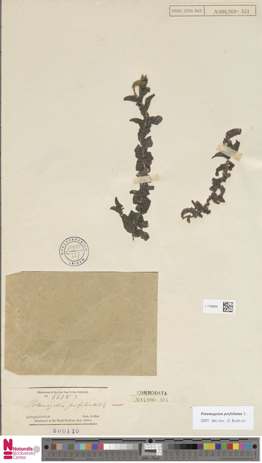 L.1198809 | Potamogeton perfoliatus L.