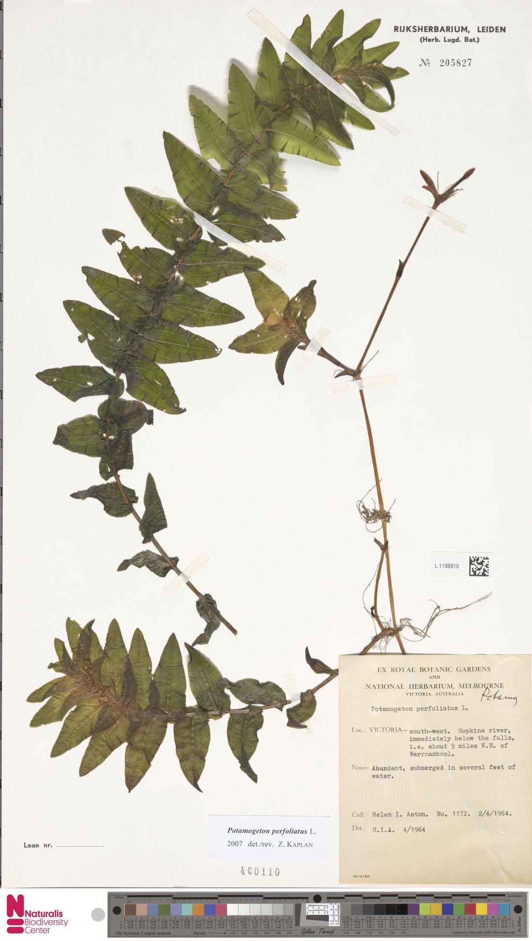 L.1198810 | Potamogeton perfoliatus L.