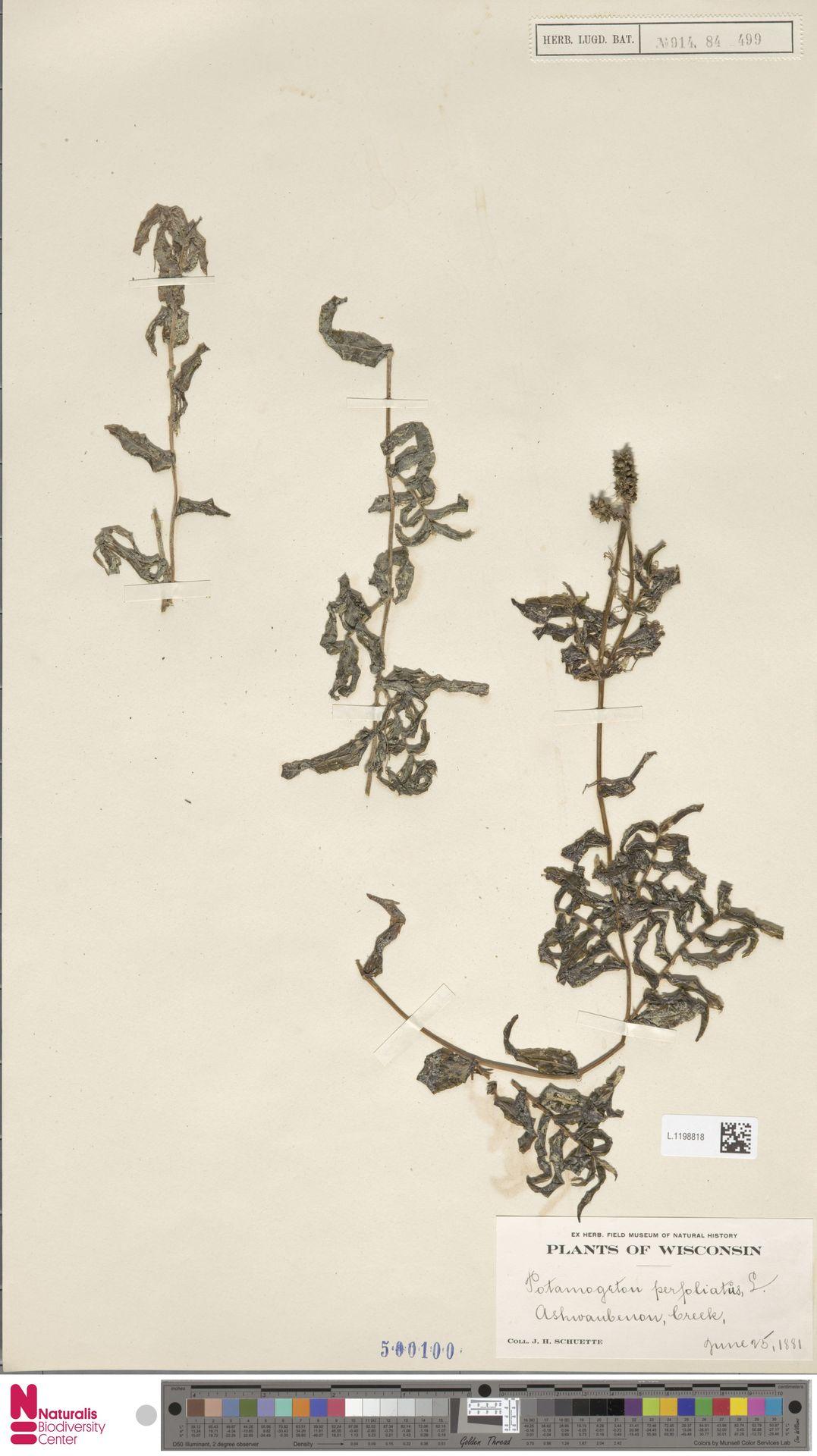 L.1198818 | Potamogeton perfoliatus L.