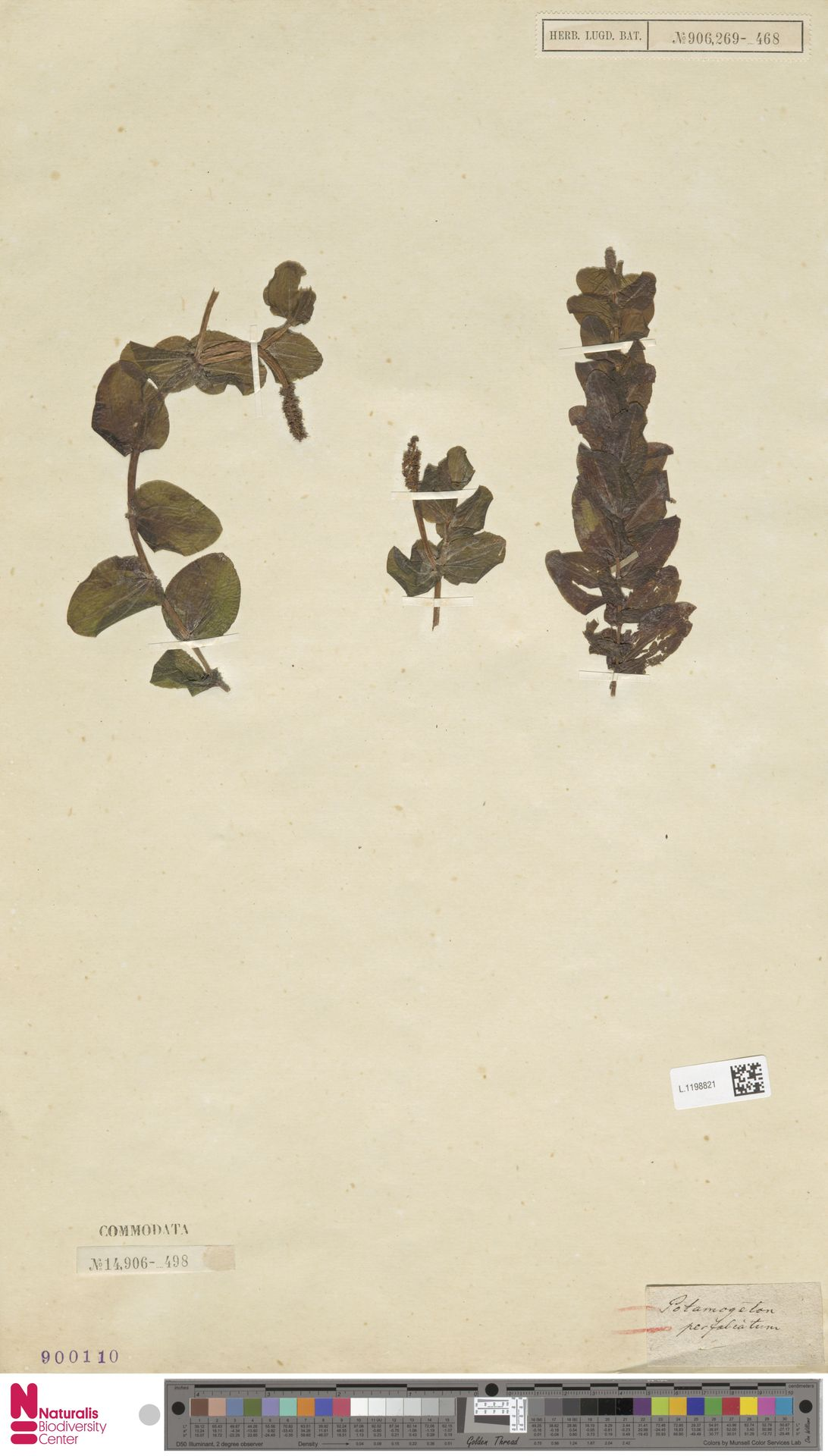 L.1198821   Potamogeton perfoliatus L.
