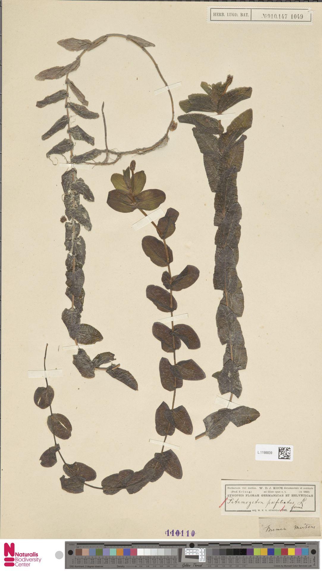 L.1198839   Potamogeton perfoliatus L.