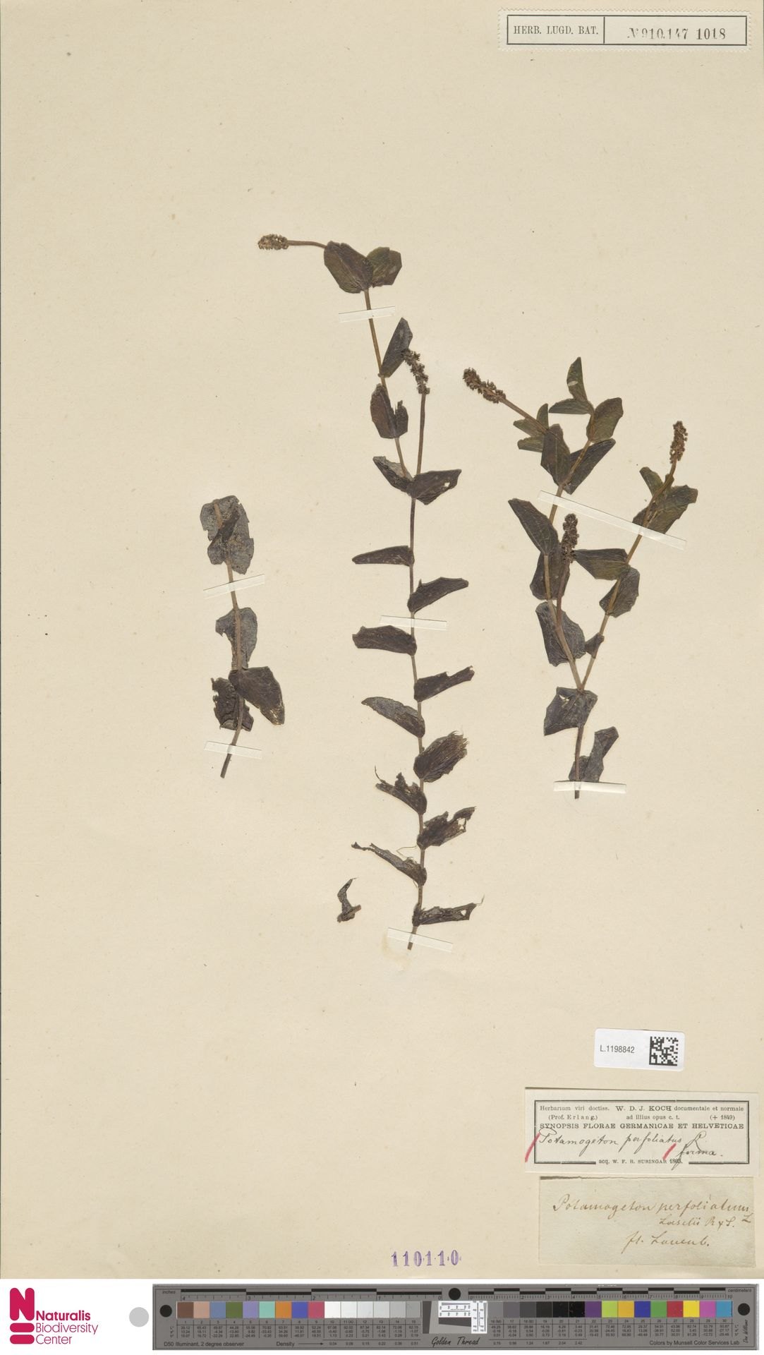 L.1198842 | Potamogeton perfoliatus L.