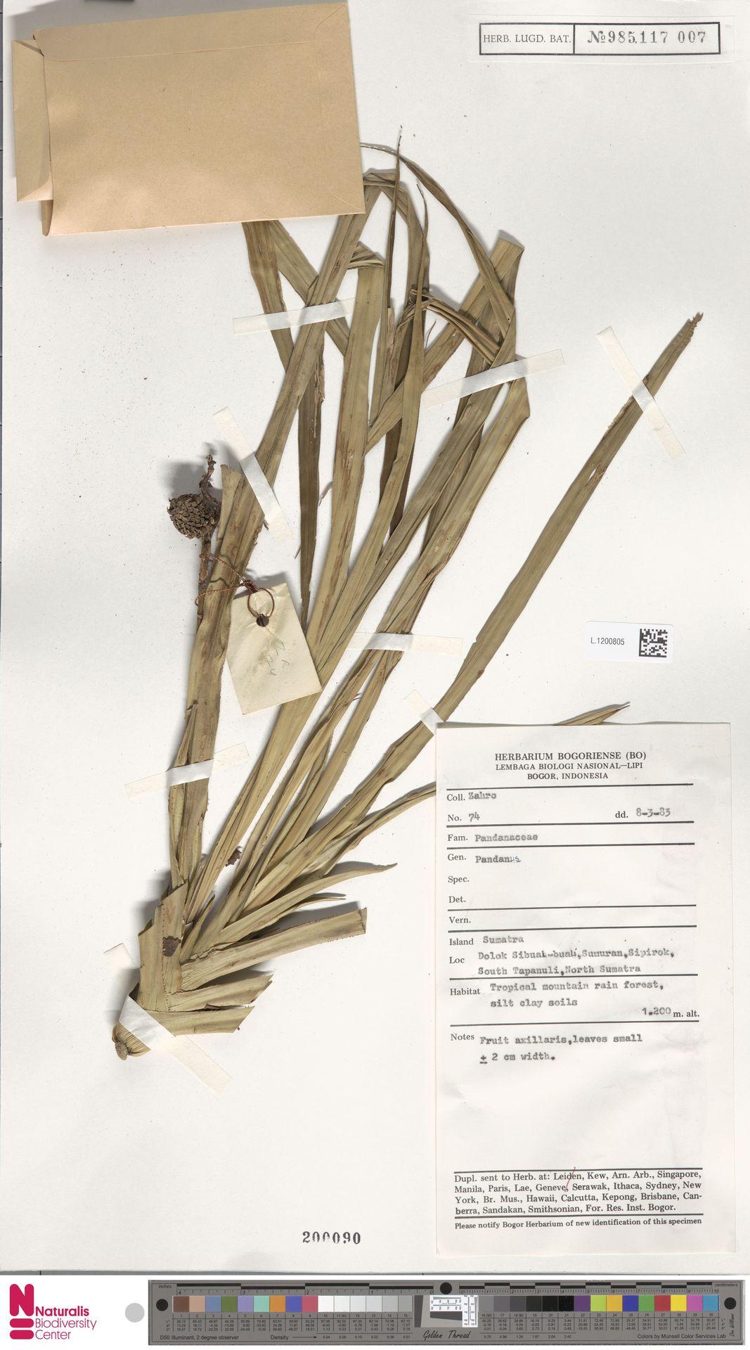 L.1200805   Benstonea korthalsii (Solms) Callm. & Buerki