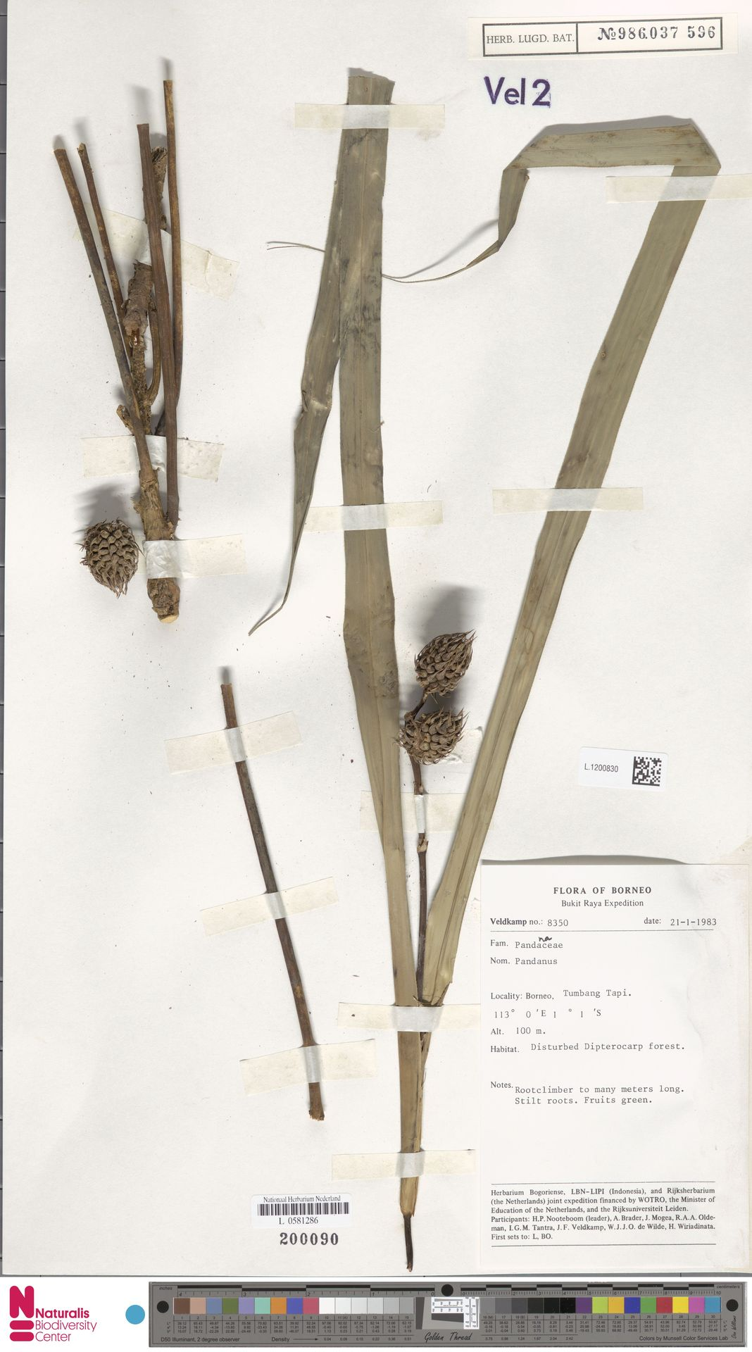 L.1200830 | Benstonea korthalsii (Solms) Callm. & Buerki