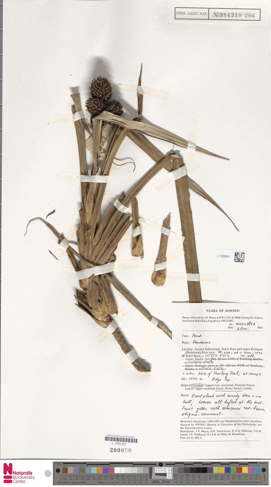 L.1200834 | Benstonea korthalsii (Solms) Callm. & Buerki
