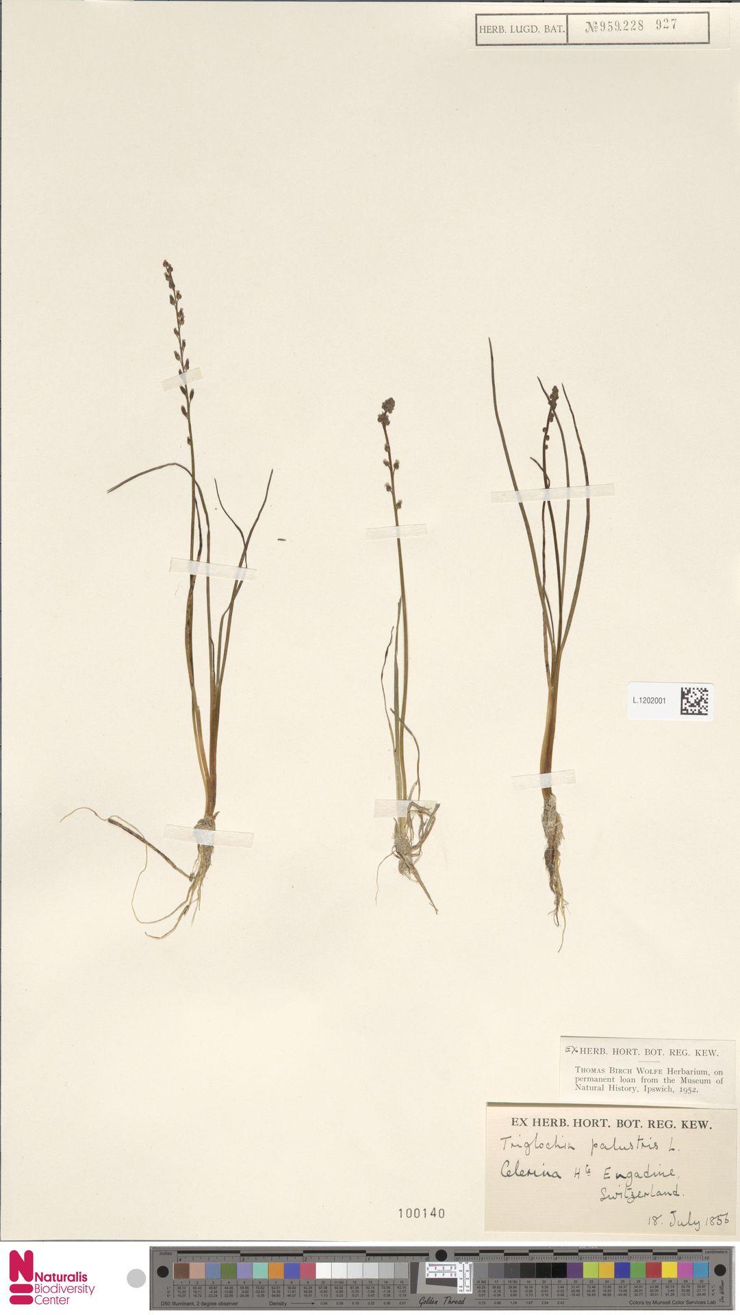 L.1202001 | Triglochin palustris L.