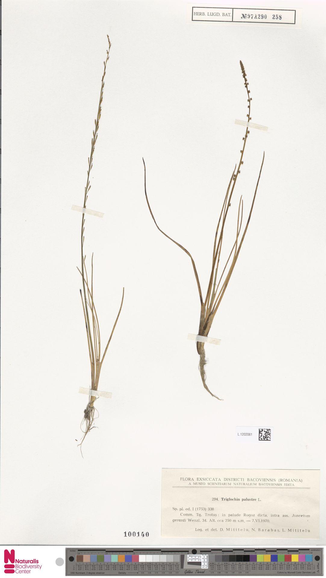 L.1202061 | Triglochin palustris L.