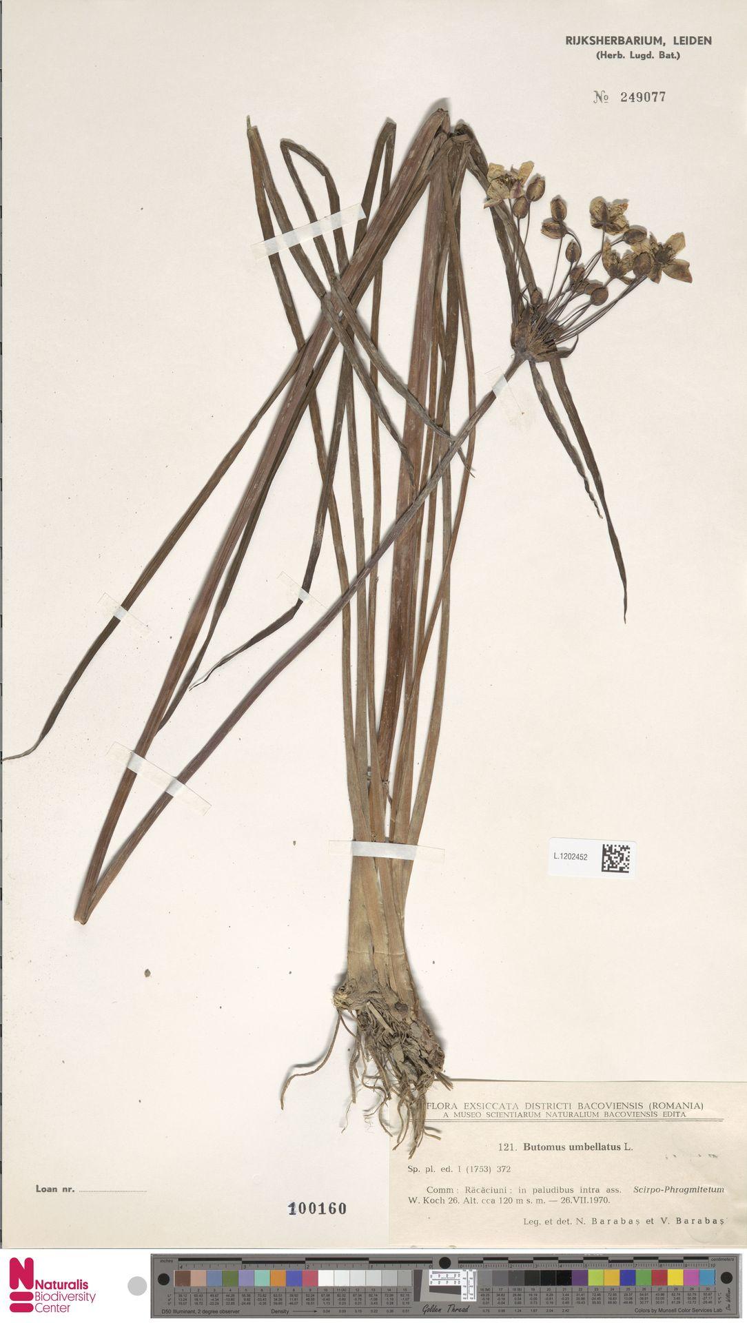 L.1202452 | Butomus umbellatus L.