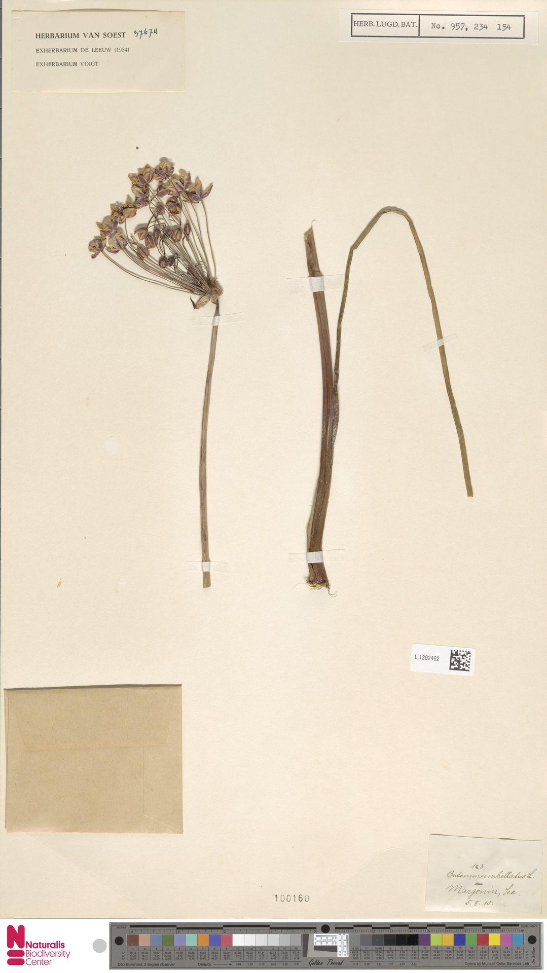L.1202462 | Butomus umbellatus L.