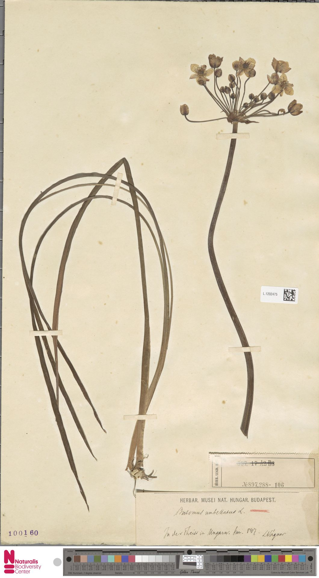 L.1202475 | Butomus umbellatus L.