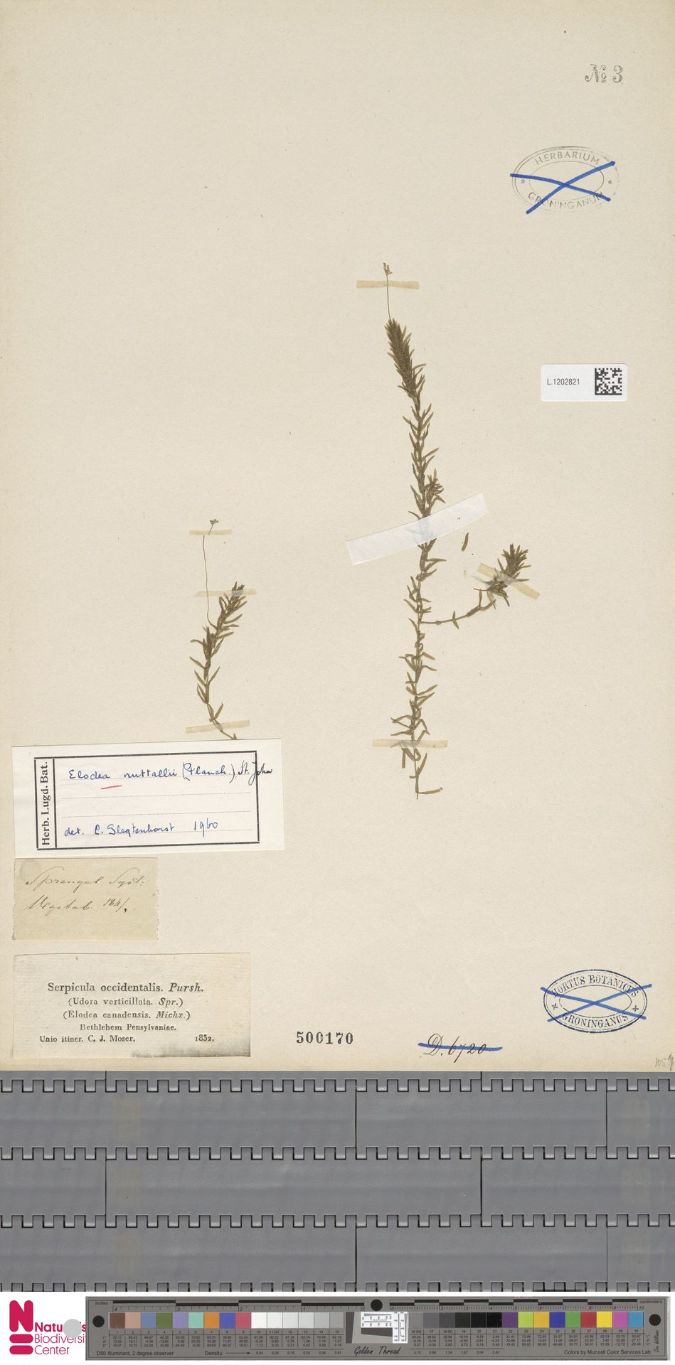 L.1202821 | Elodea nuttallii (Planch.) H.St.John