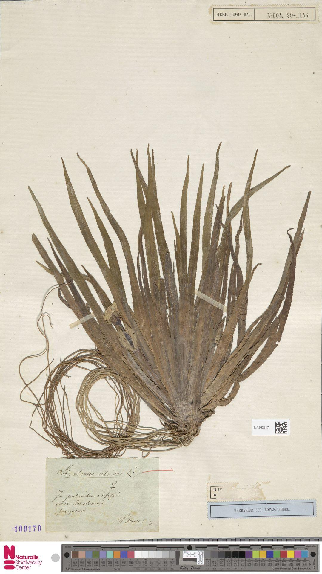 L.1203617 | Stratiotes aloides L.