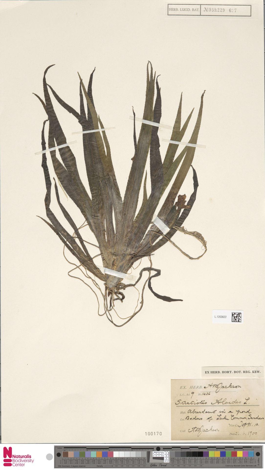 L.1203622 | Stratiotes aloides L.