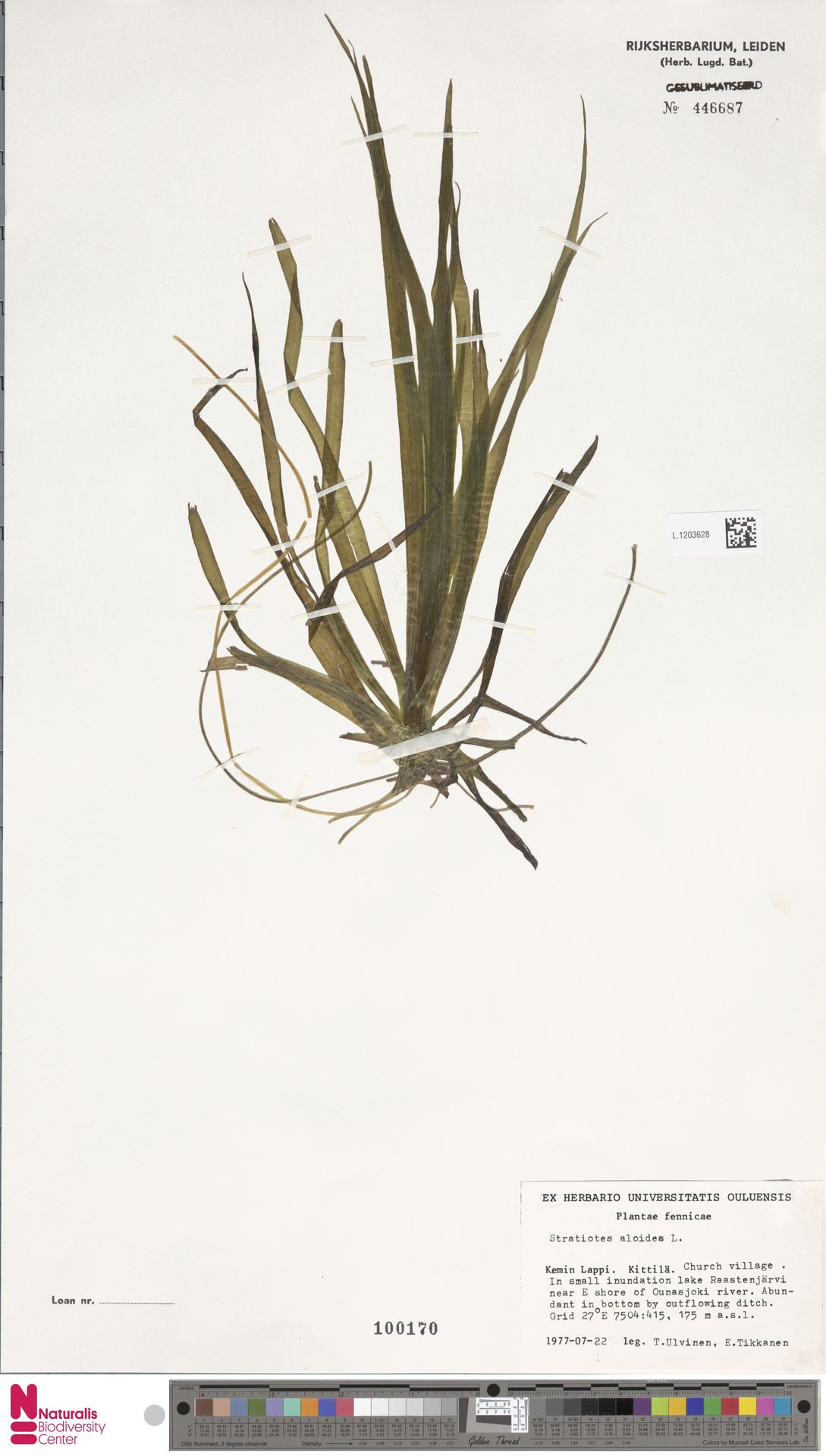 L.1203628   Stratiotes aloides L.