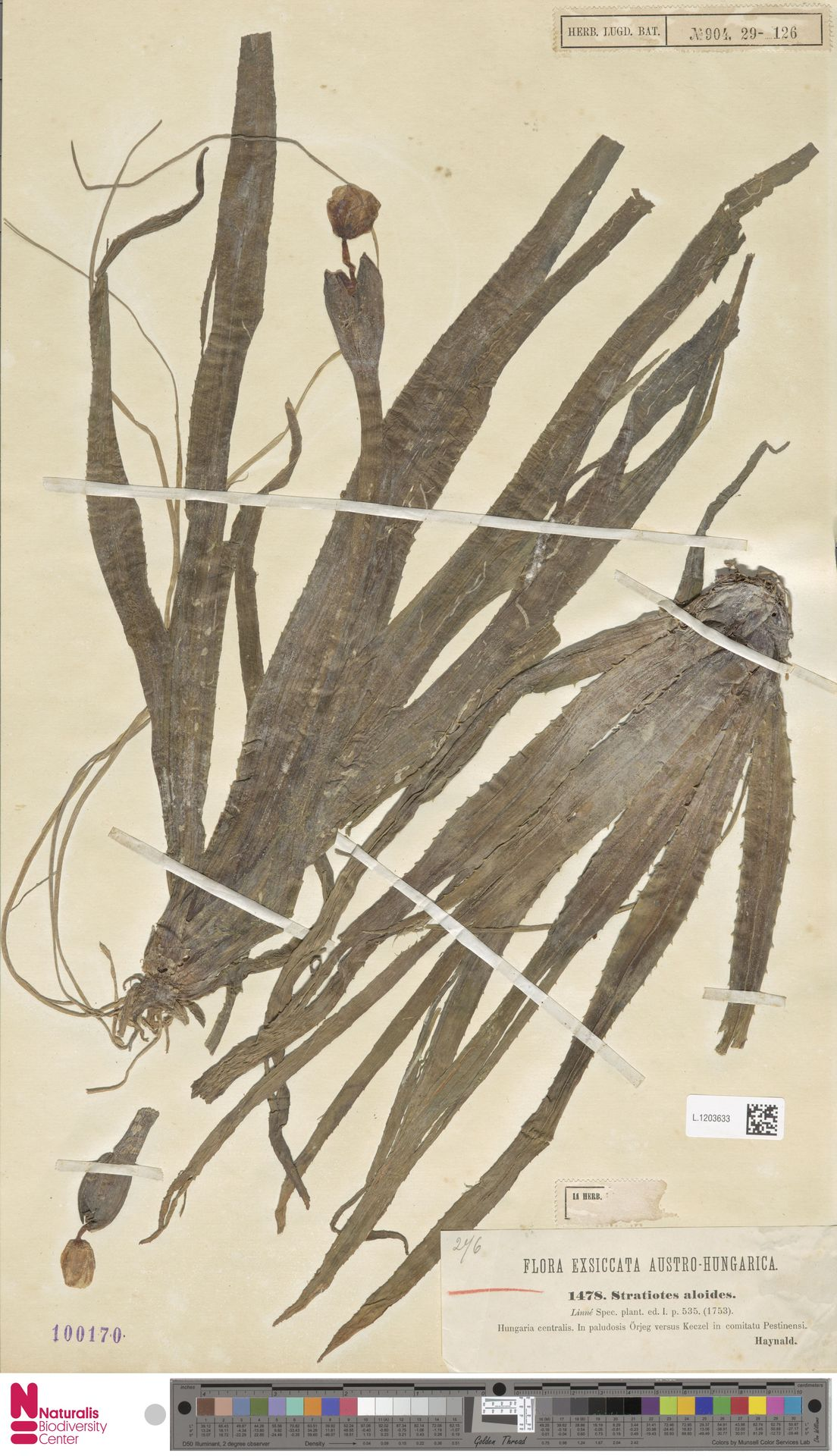 L.1203633 | Stratiotes aloides L.