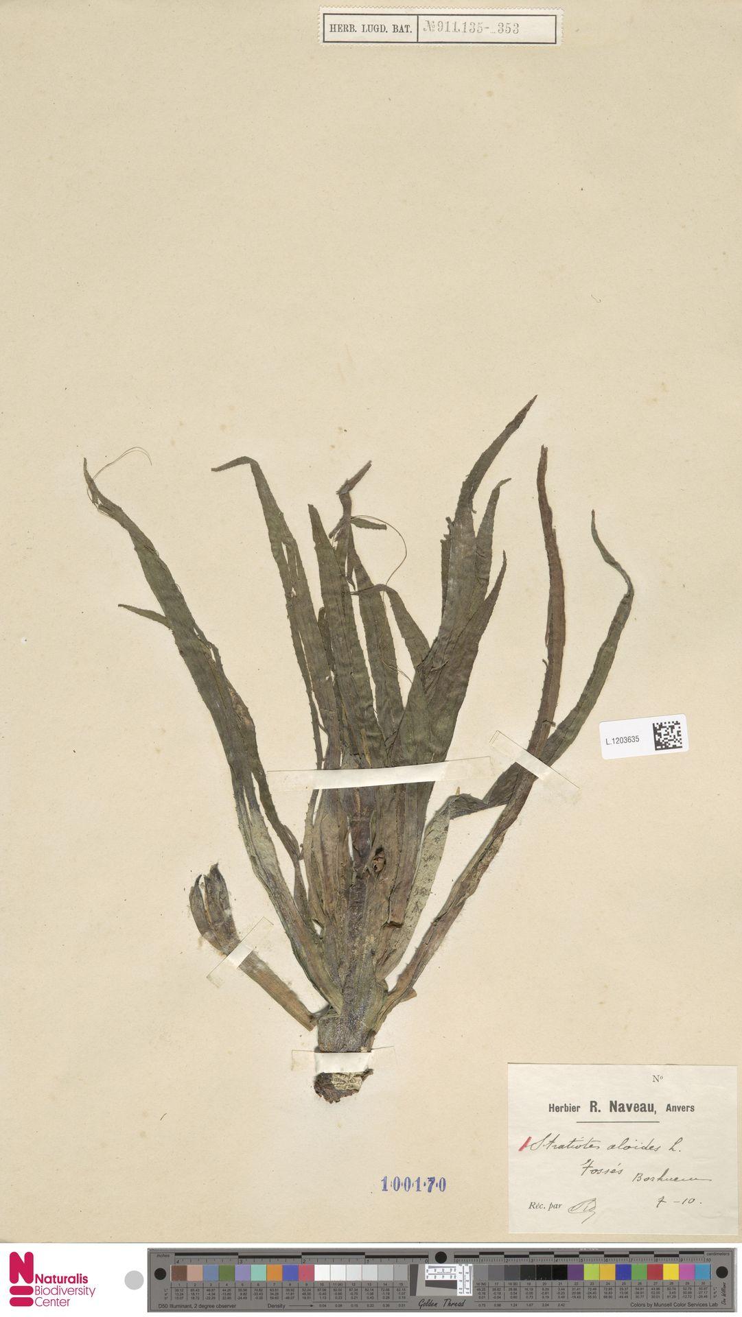 L.1203635 | Stratiotes aloides L.