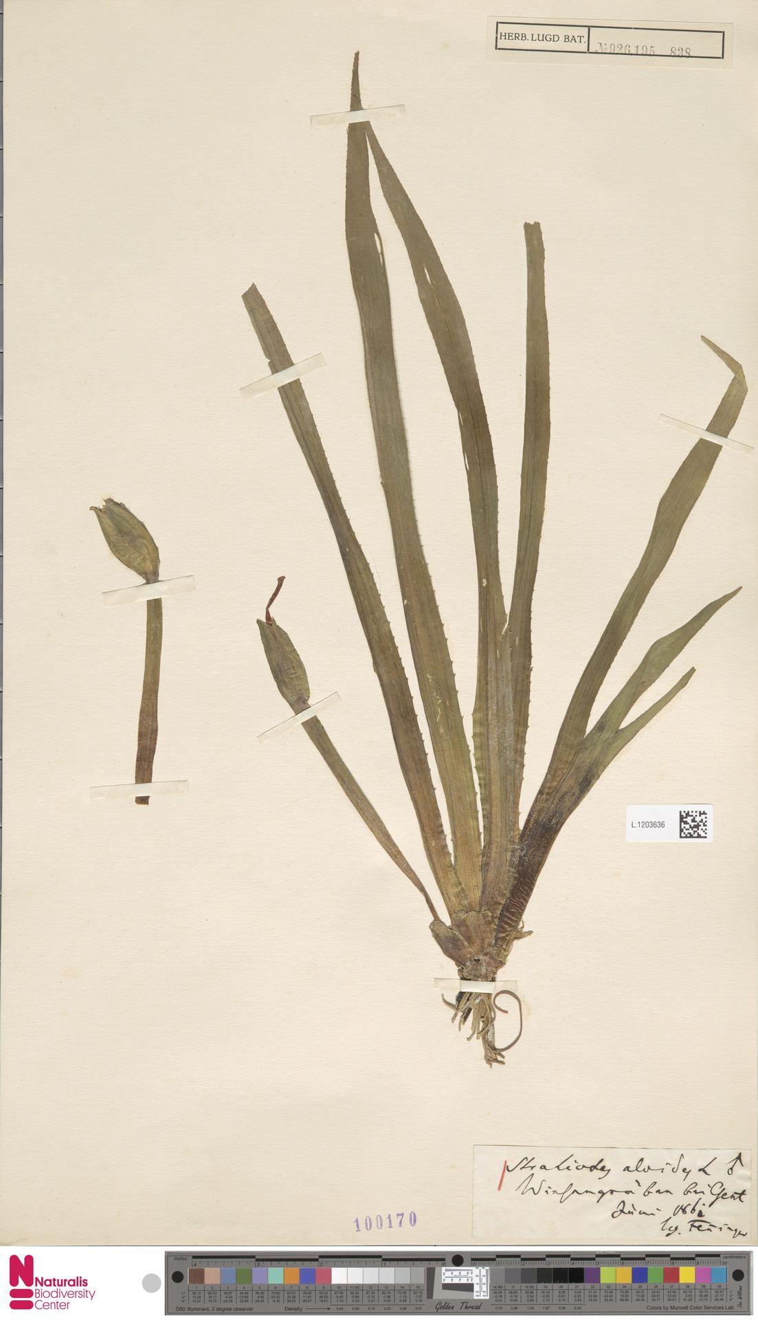 L.1203636 | Stratiotes aloides L.