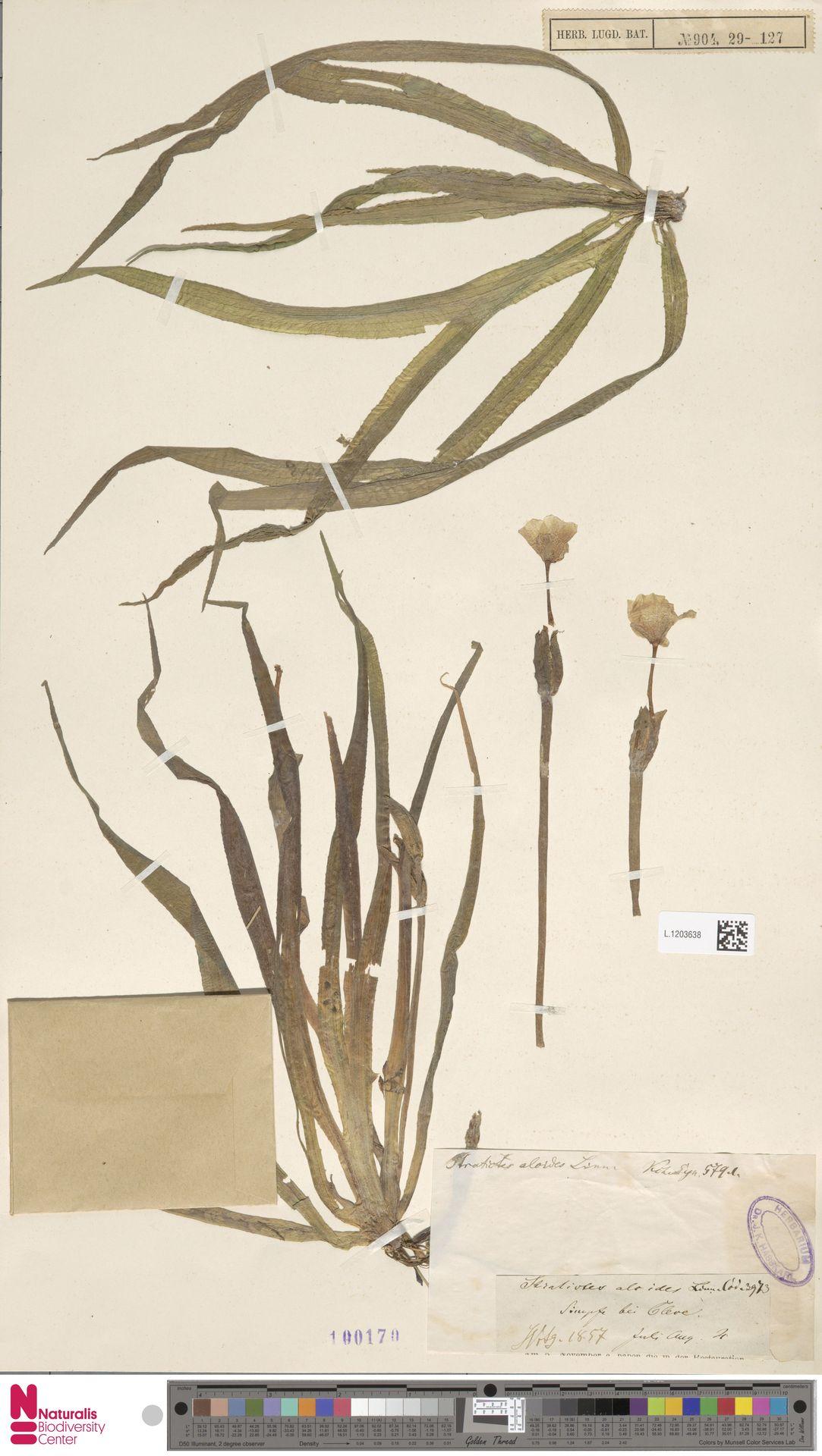 L.1203638   Stratiotes aloides L.