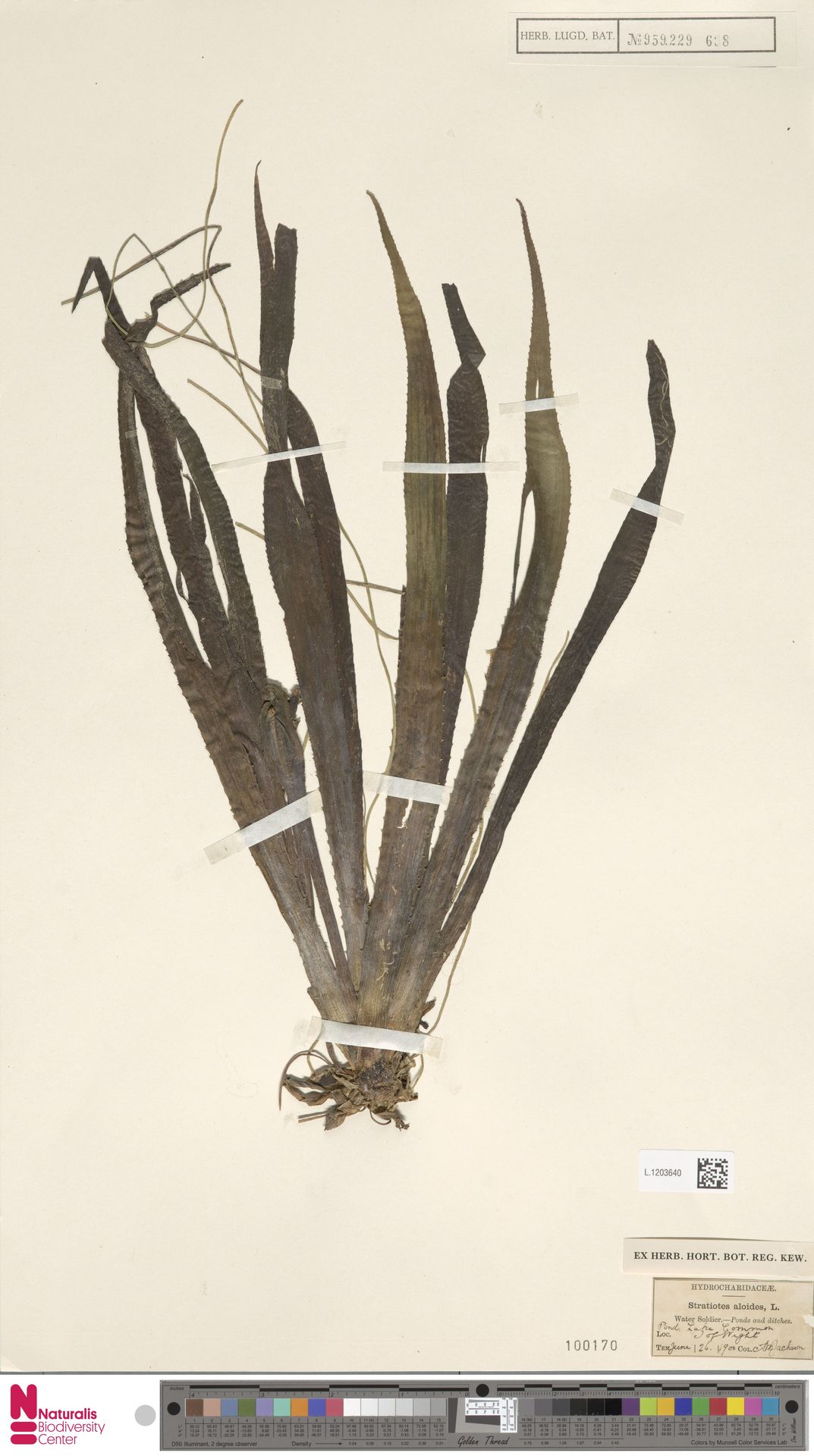 L.1203640   Stratiotes aloides L.