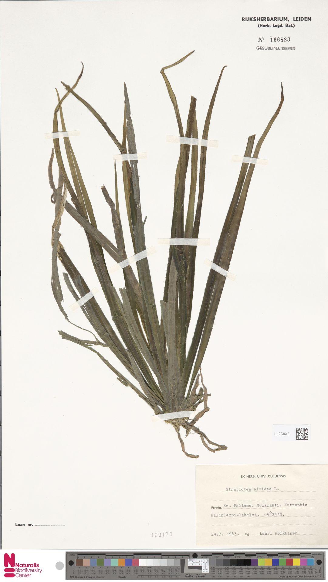 L.1203642 | Stratiotes aloides L.