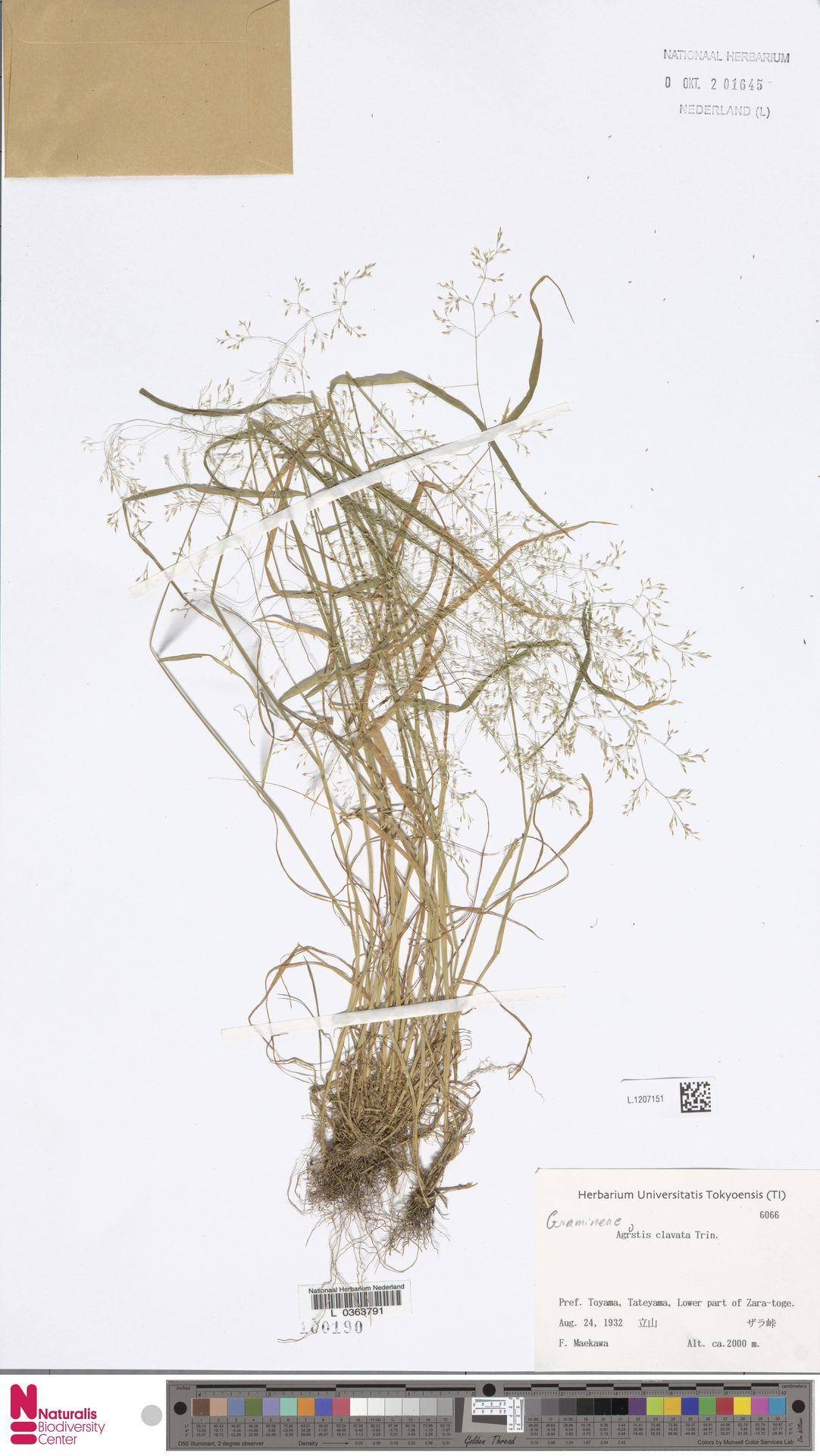 L.1207151   Agrostis clavata Trin.