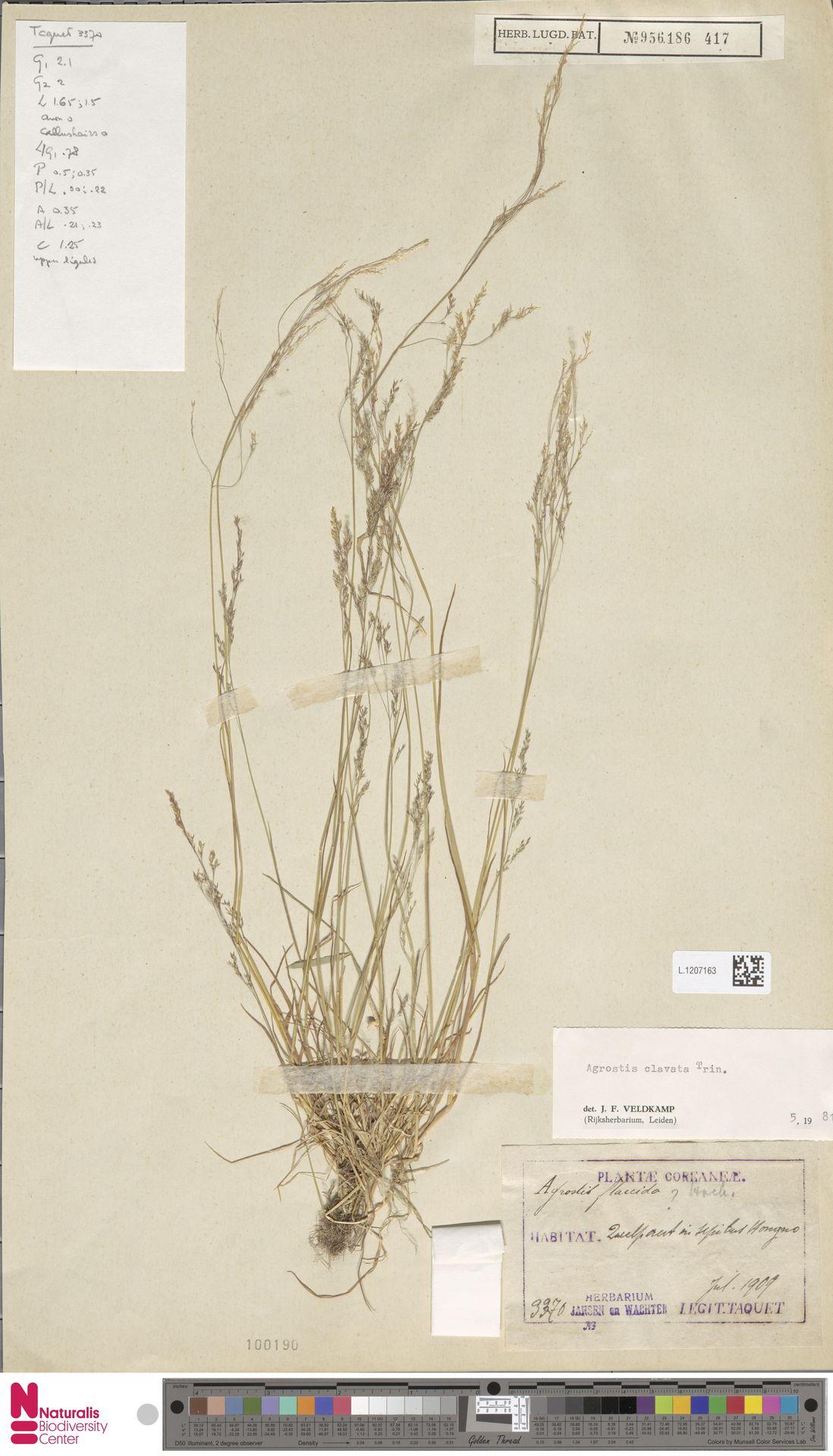 L.1207163   Agrostis clavata Trin.