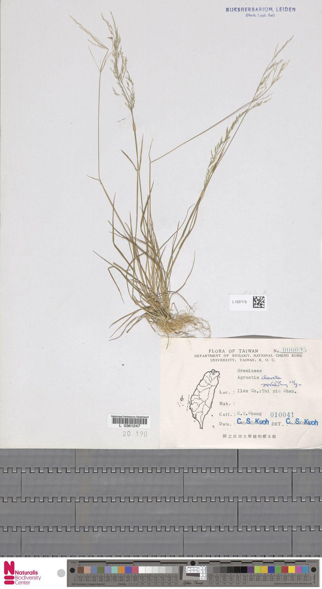 L.1207175   Agrostis clavata Trin.