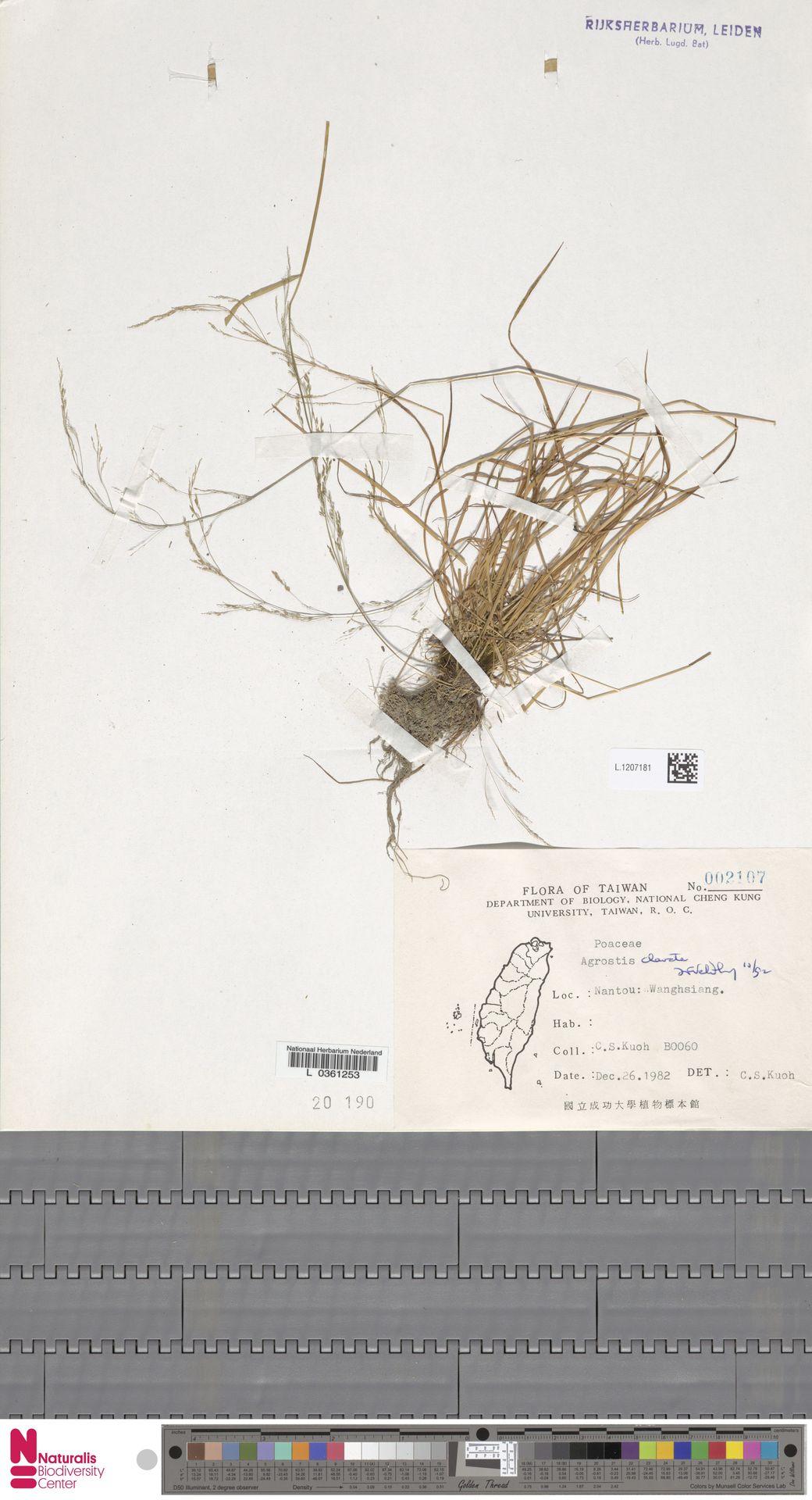 L.1207181 | Agrostis clavata Trin.