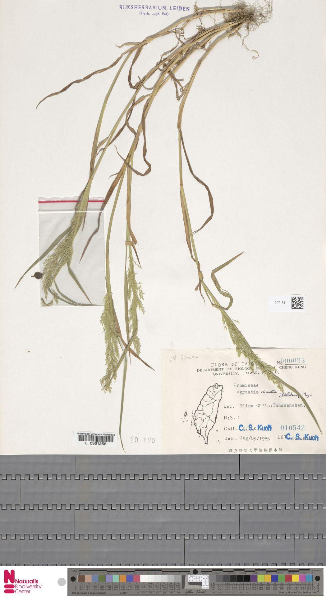 L.1207184   Agrostis clavata Trin.