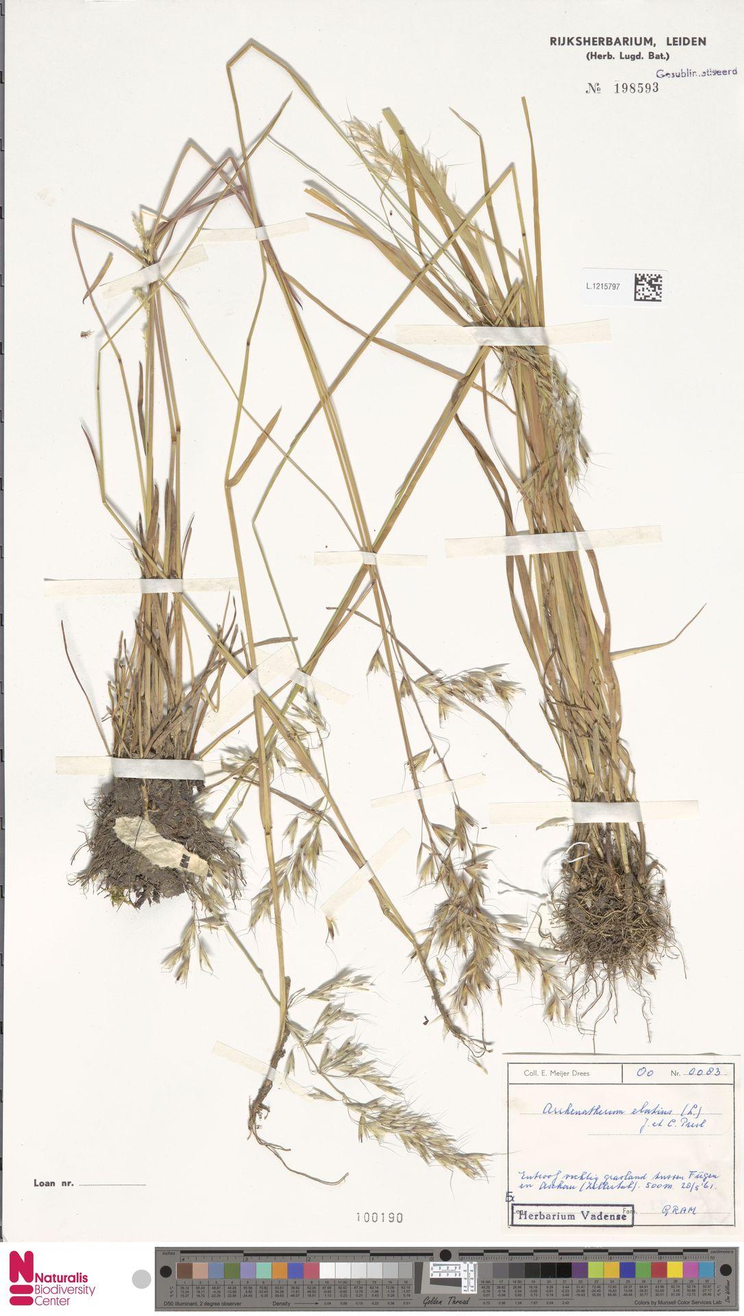 L.1215797   Arrhenatherum elatius (L.) P.Beauv. ex J.Presl & C.Presl