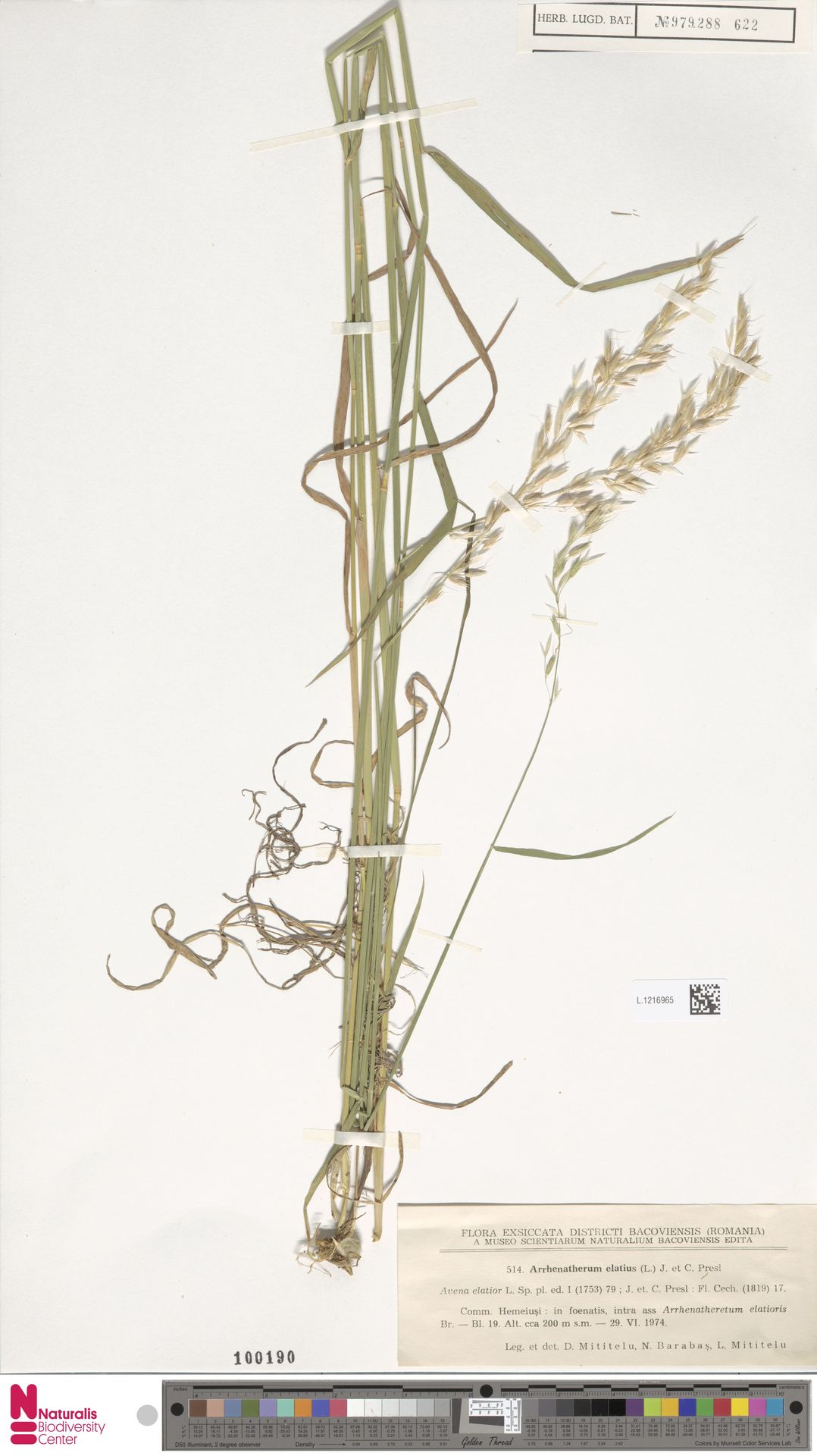 L.1216965 | Arrhenatherum elatius (L.) P.Beauv. ex J.Presl & C.Presl