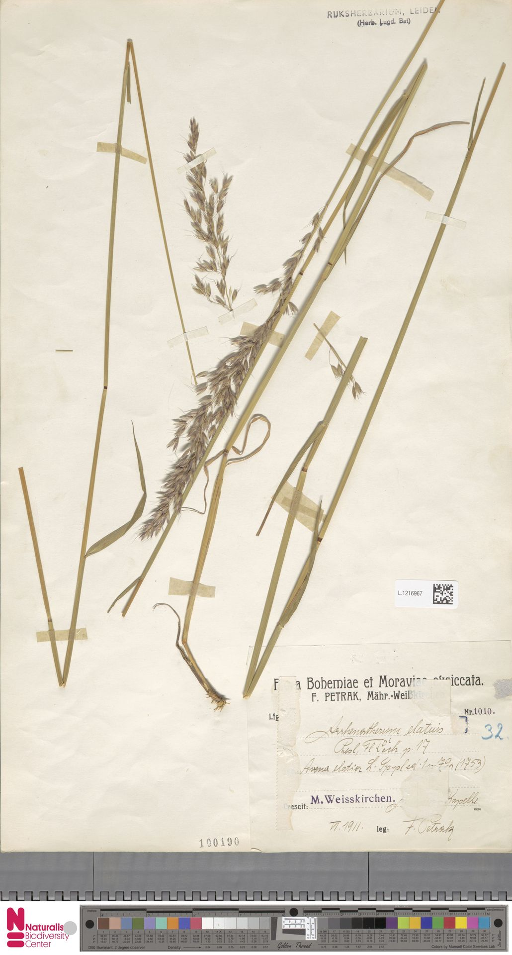 L.1216967 | Arrhenatherum elatius (L.) P.Beauv. ex J.Presl & C.Presl