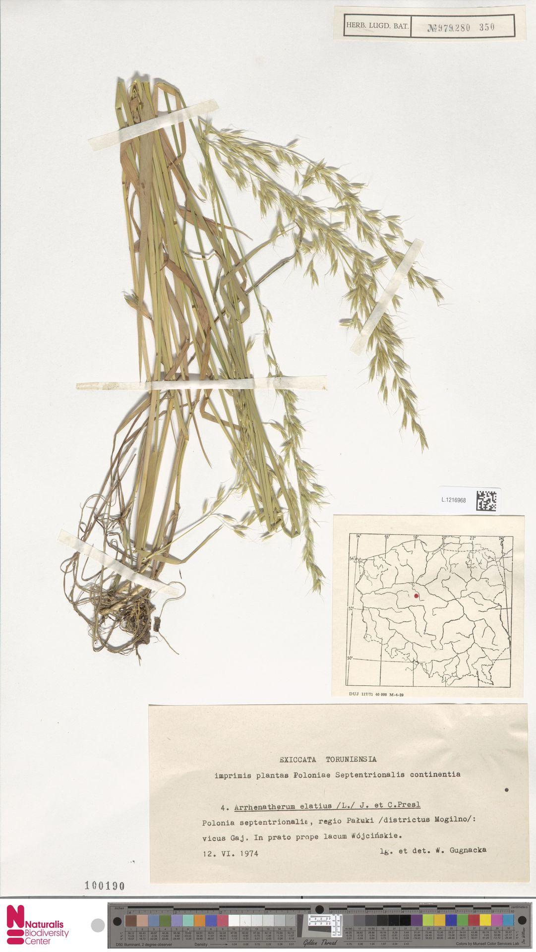 L.1216968 | Arrhenatherum elatius (L.) P.Beauv. ex J.Presl & C.Presl