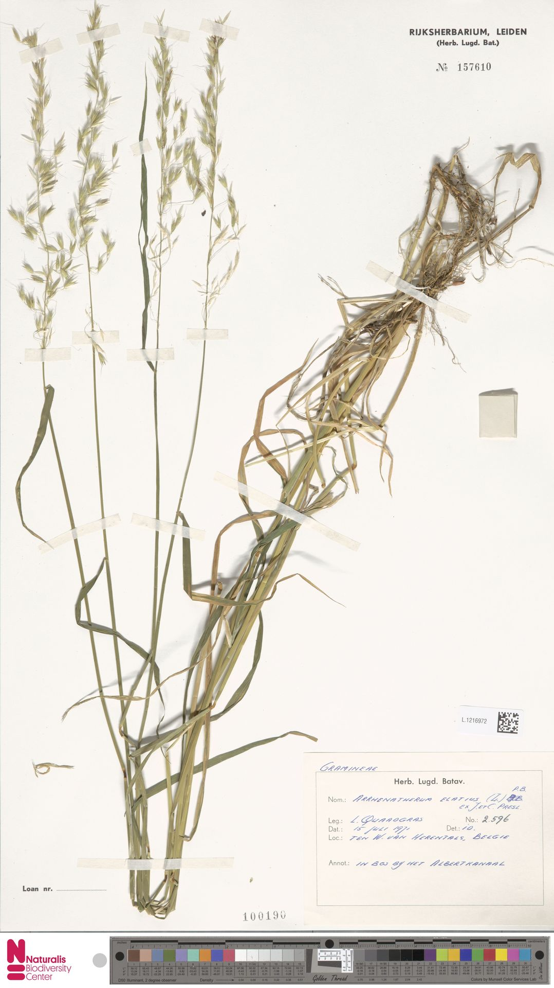 L.1216972   Arrhenatherum elatius (L.) P.Beauv. ex J.Presl & C.Presl