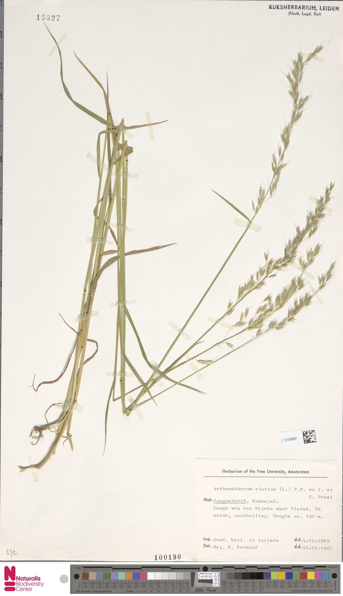 L.1216982 | Arrhenatherum elatius (L.) P.Beauv. ex J.Presl & C.Presl