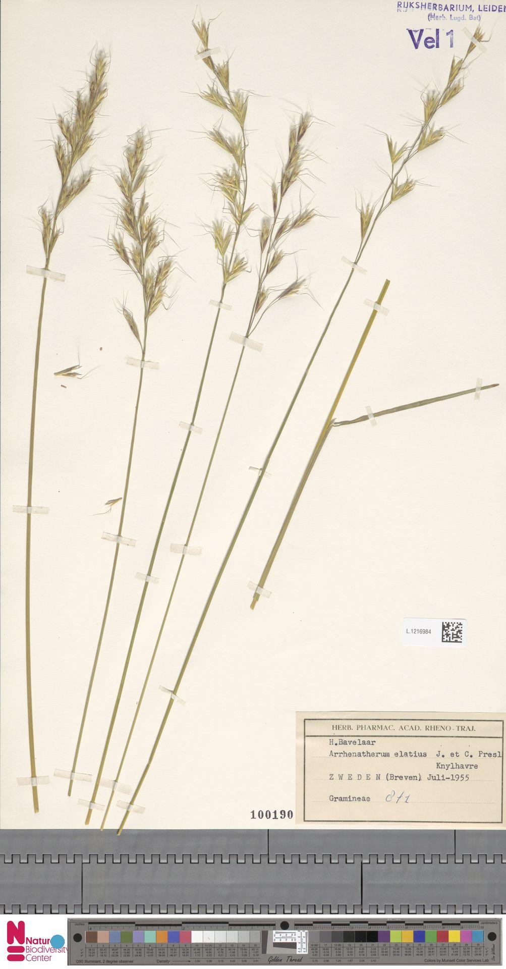 L.1216984 | Arrhenatherum elatius (L.) P.Beauv. ex J.Presl & C.Presl