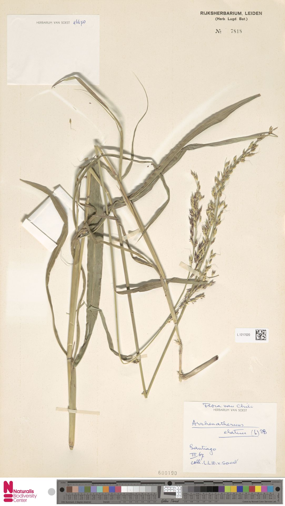 L.1217020   Arrhenatherum elatius (L.) P.Beauv. ex J.Presl & C.Presl