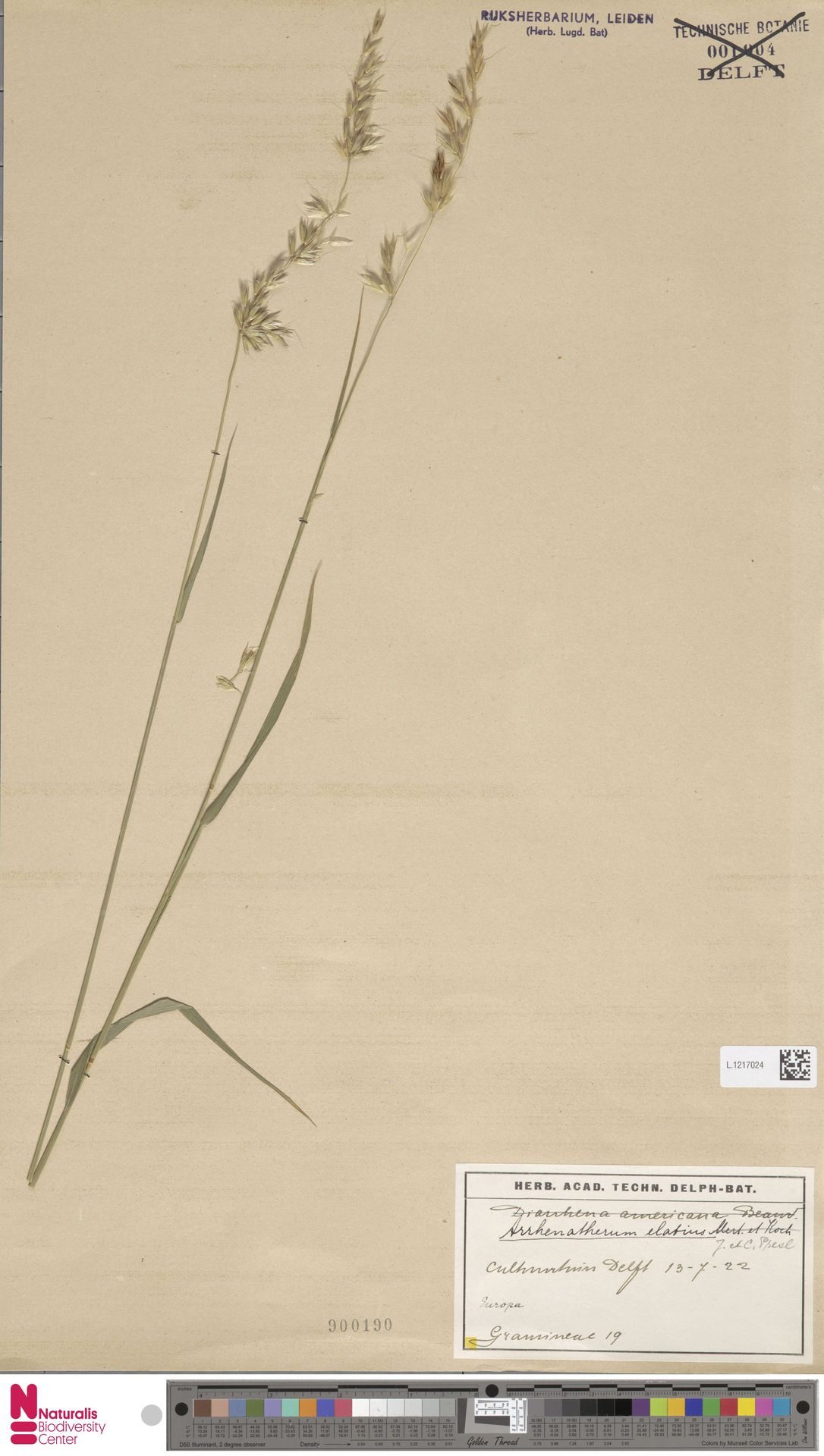 L.1217024   Arrhenatherum elatius (L.) P.Beauv. ex J.Presl & C.Presl