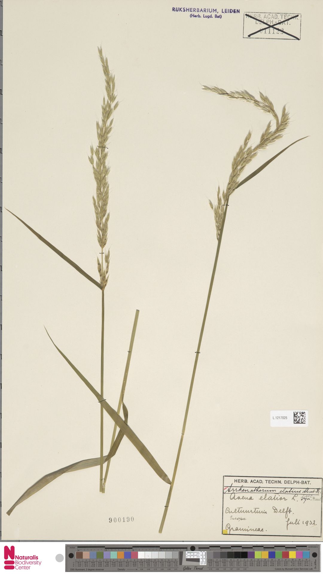 L.1217025 | Arrhenatherum elatius (L.) P.Beauv. ex J.Presl & C.Presl