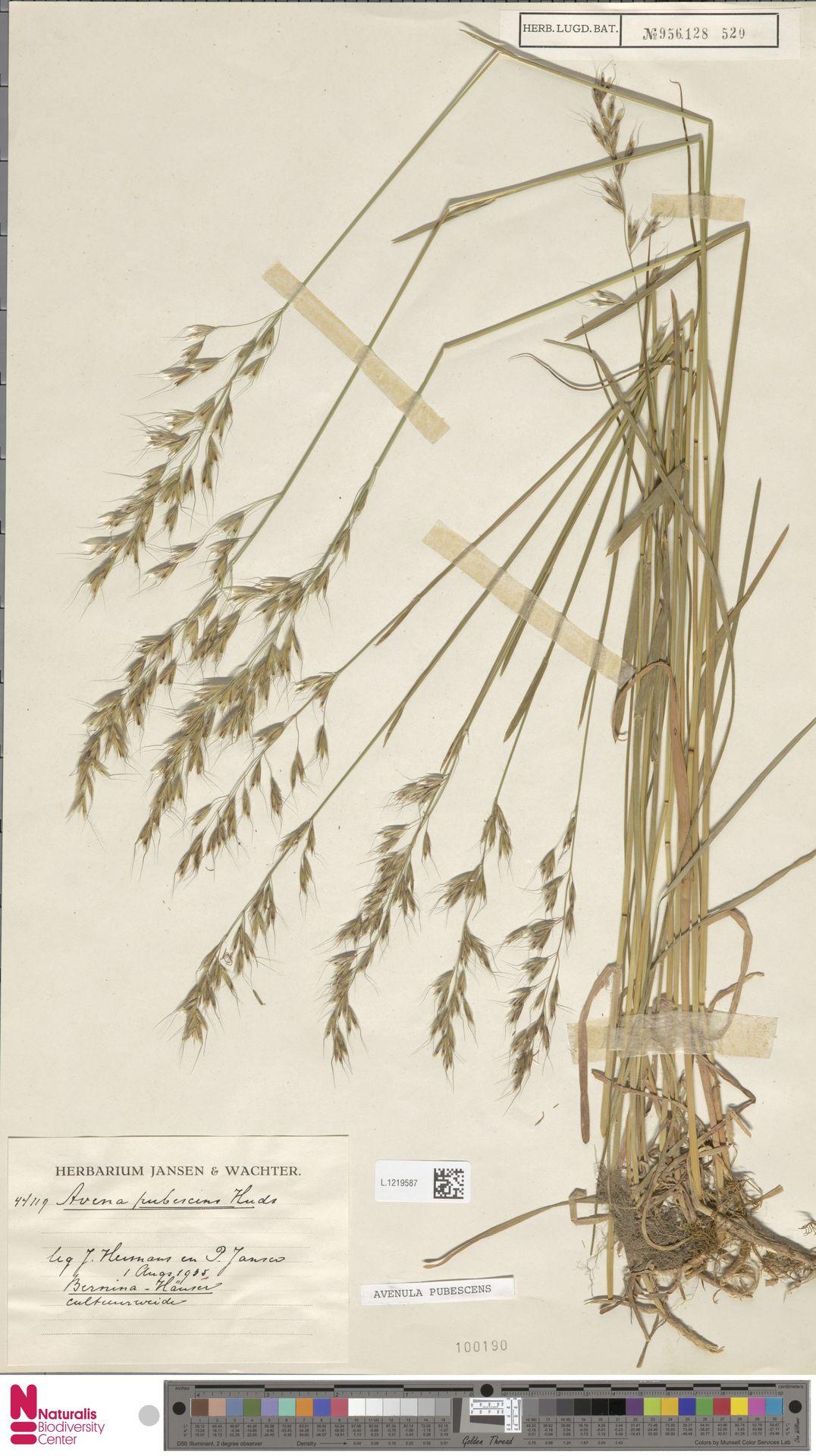 L.1219587 | Avenula pubescens (Huds.) Dumort.