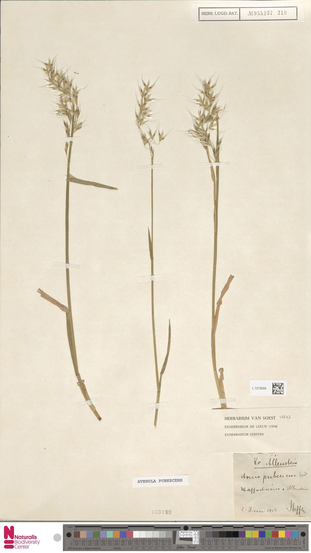 L.1219594 | Avenula pubescens (Huds.) Dumort.